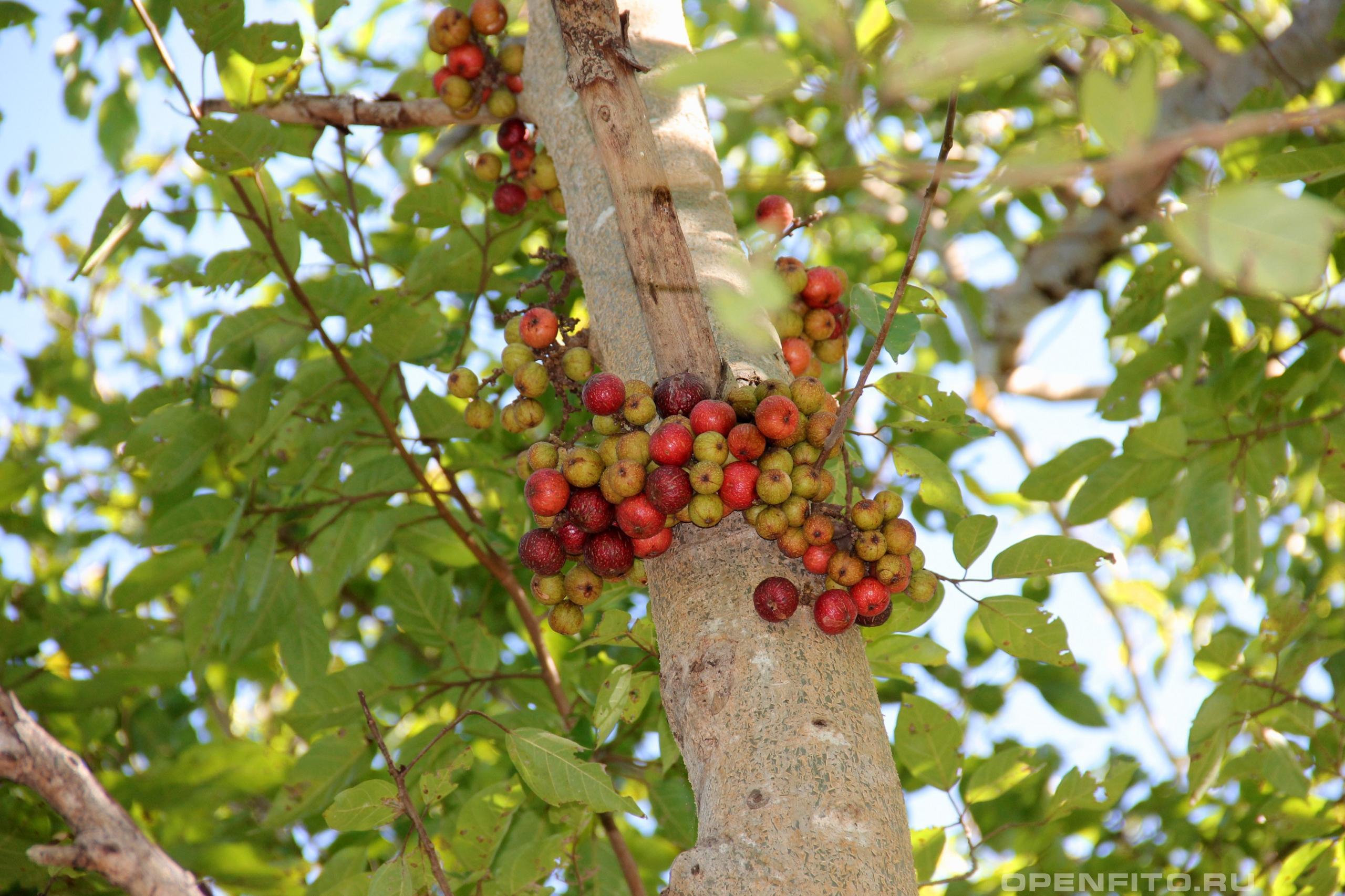 Фикус кистевидный тропический вид смоковницы