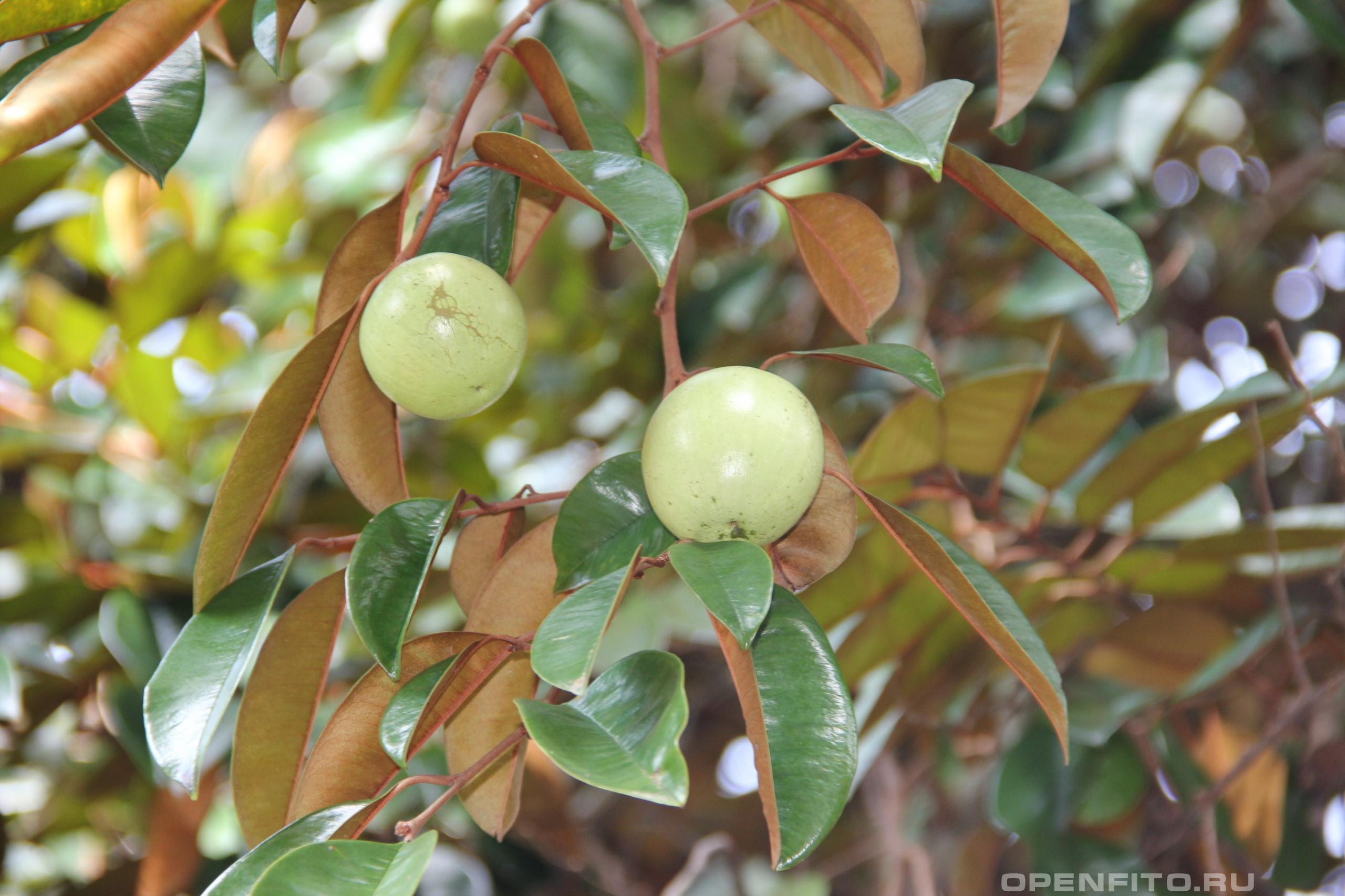 Хризофиллум каинито фото съедобного плода Каинито или Кайнито