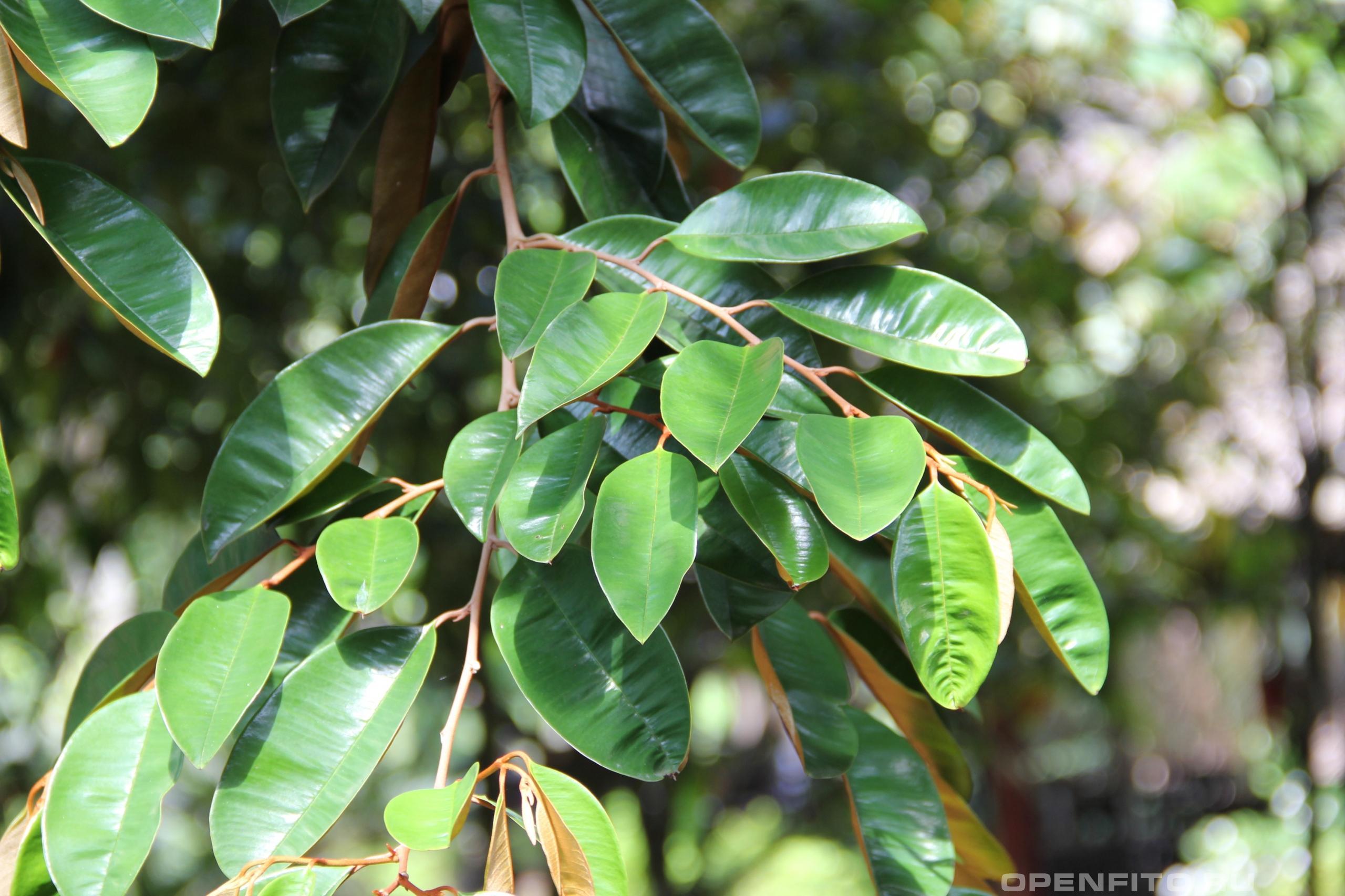 Хризофиллум каинито листья