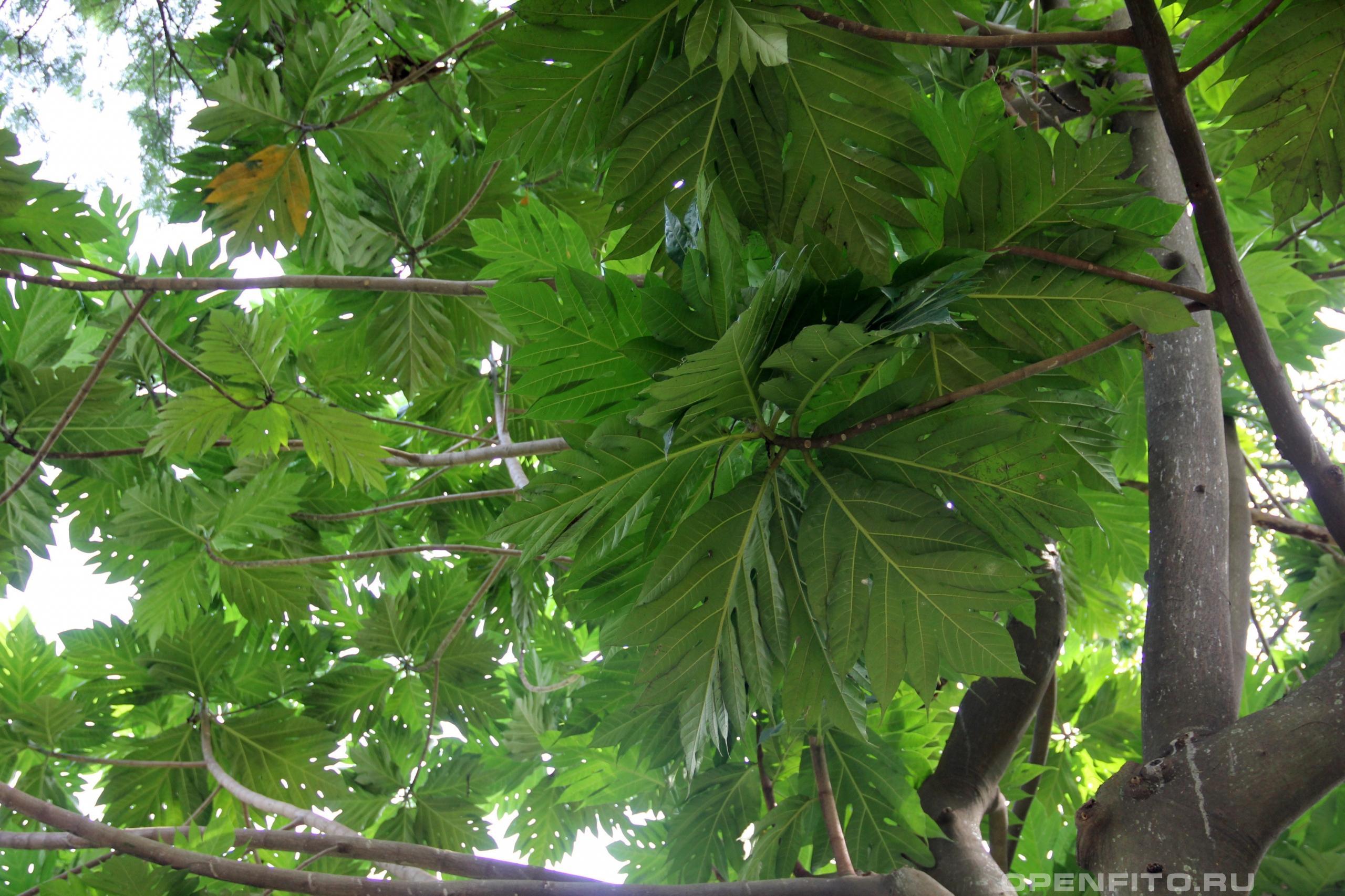 Артокарпус обыкновенный листья