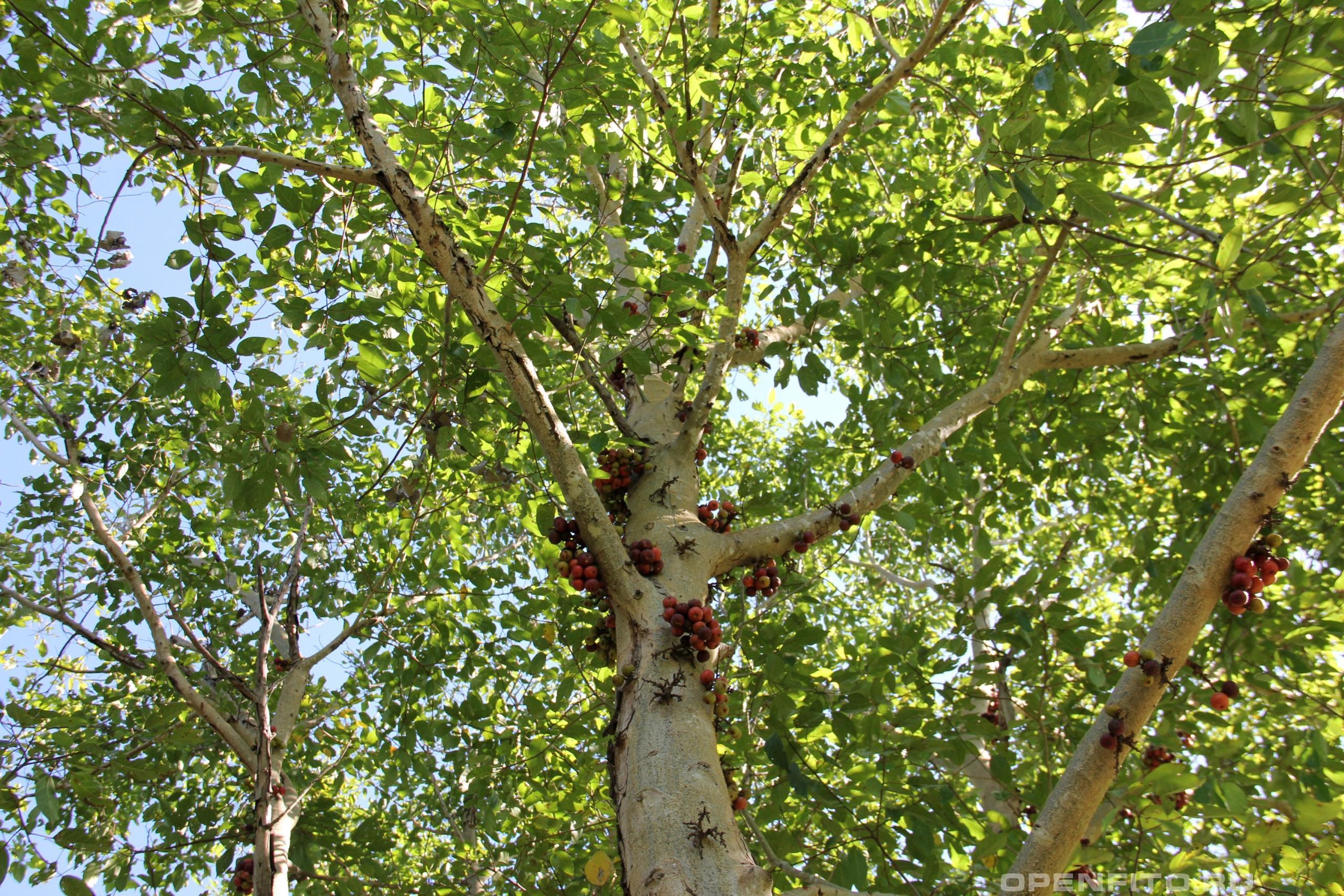 Фикус кистевидный крона дерева