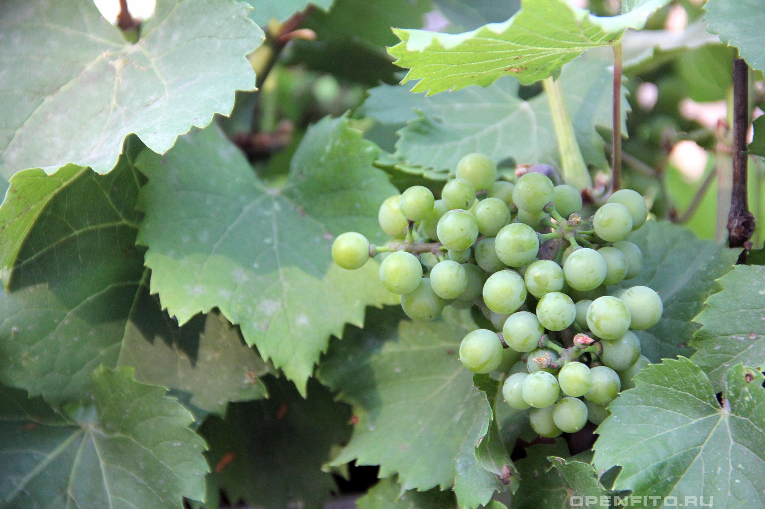 Виноград обыкновенный незрелые плоды винограда культурного
