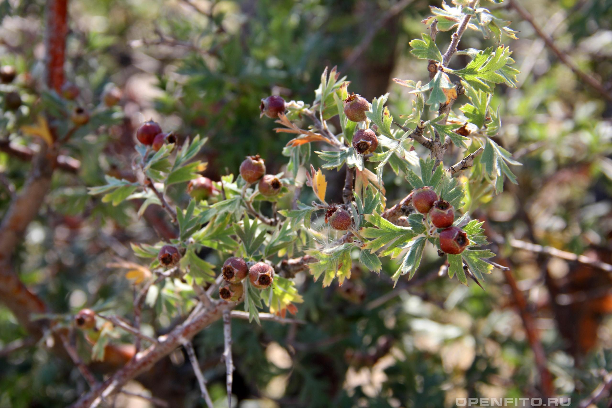 Боярышник Турнефора листья и созревающие плоды
