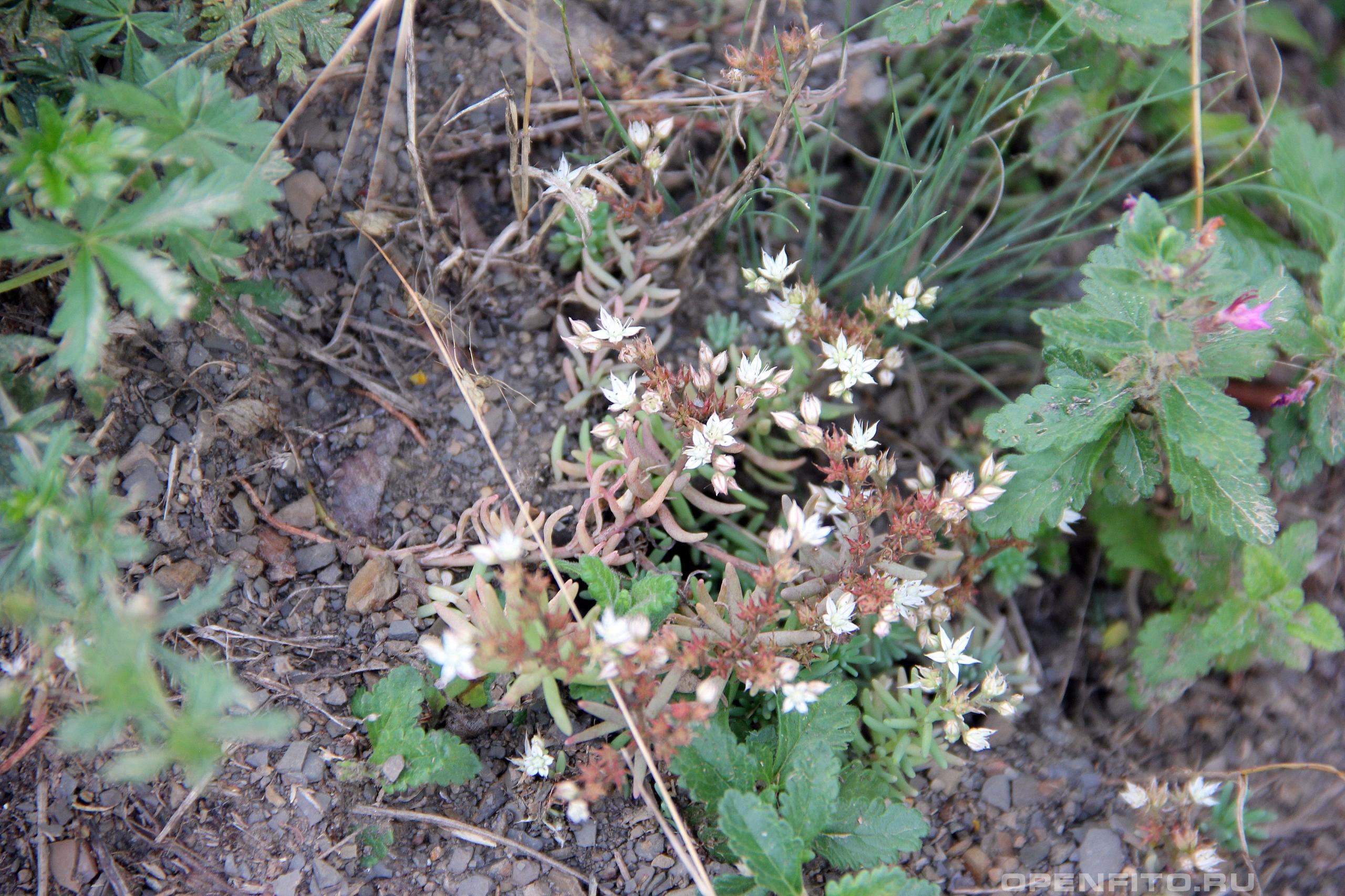 Очиток белый растение во время цветения