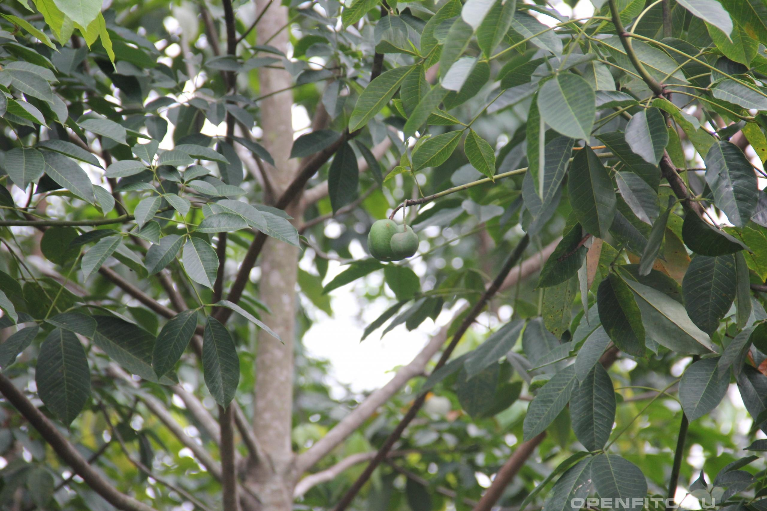 Гевея бразильская незрелые плоды растения