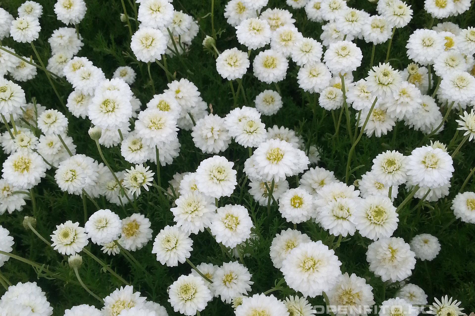 Пупавник благородный цветение садового растения