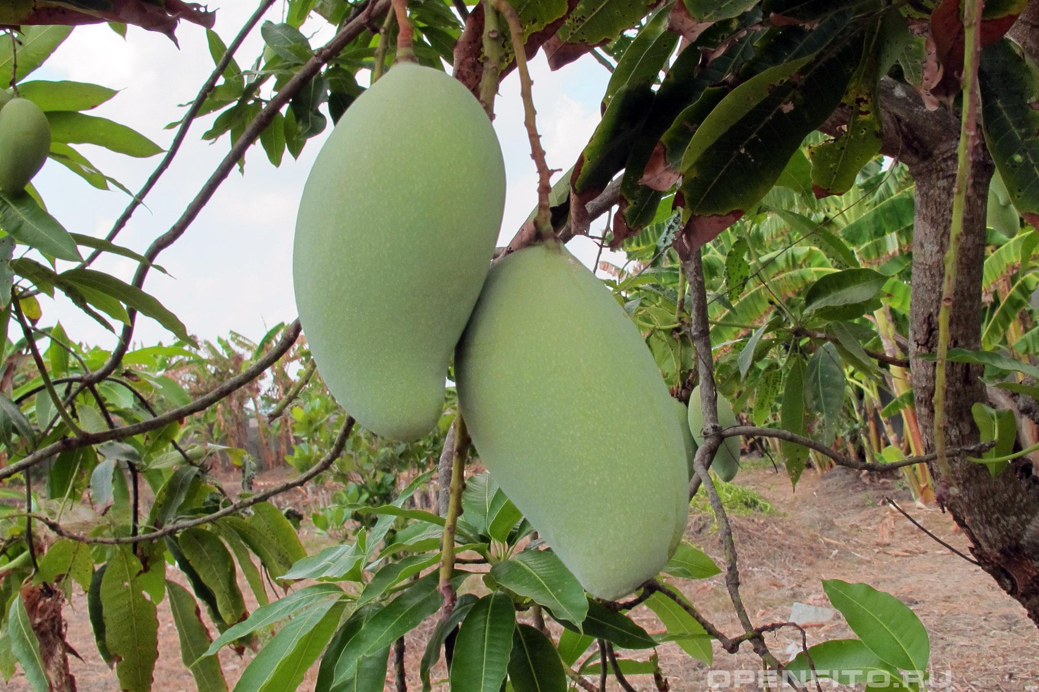 Манго индийское дозревающие плоды
