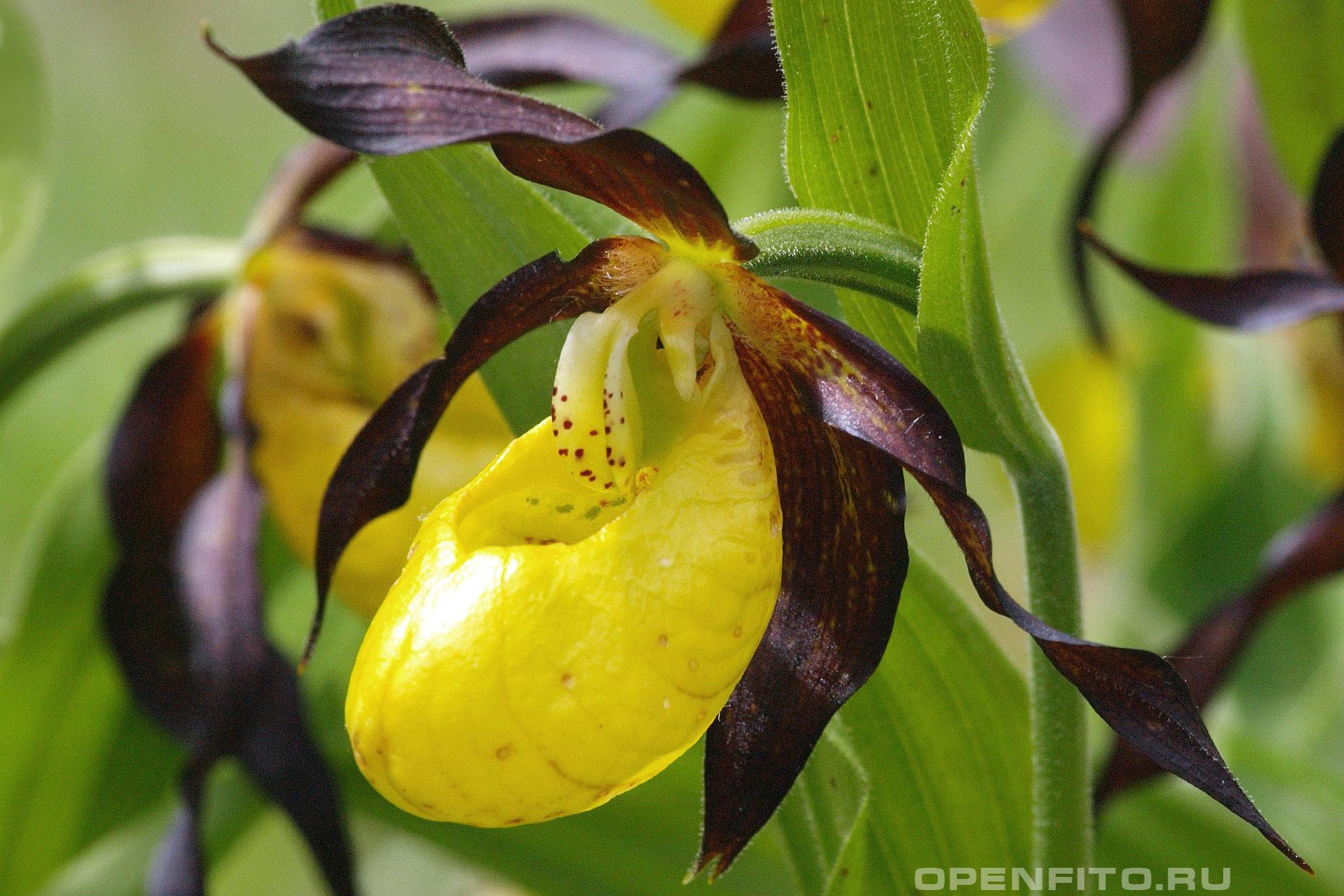 Башмачок обыкновенный или Венерин башмачок желтый