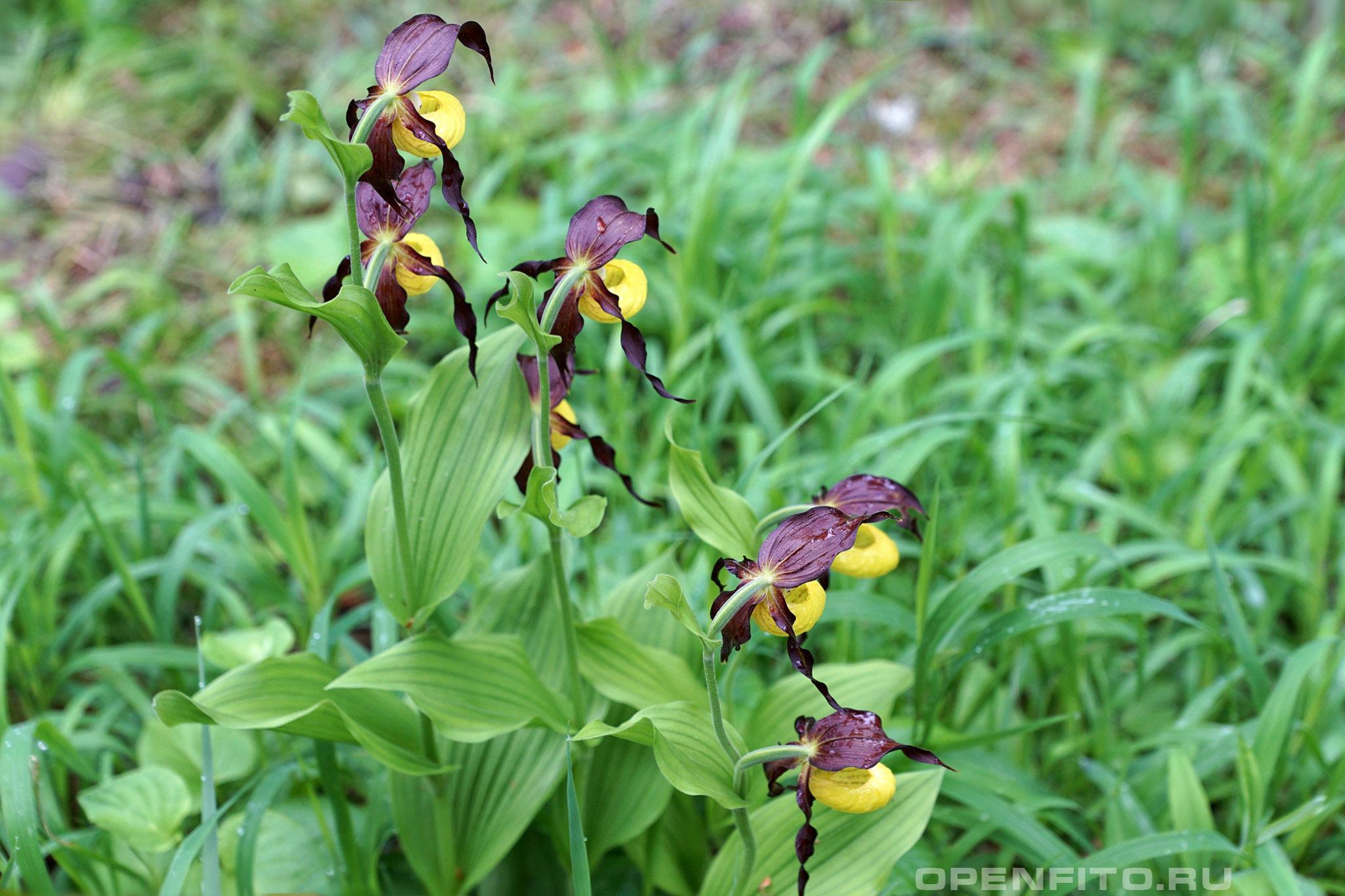 Башмачок обыкновенный <p>цветущее растение</p>