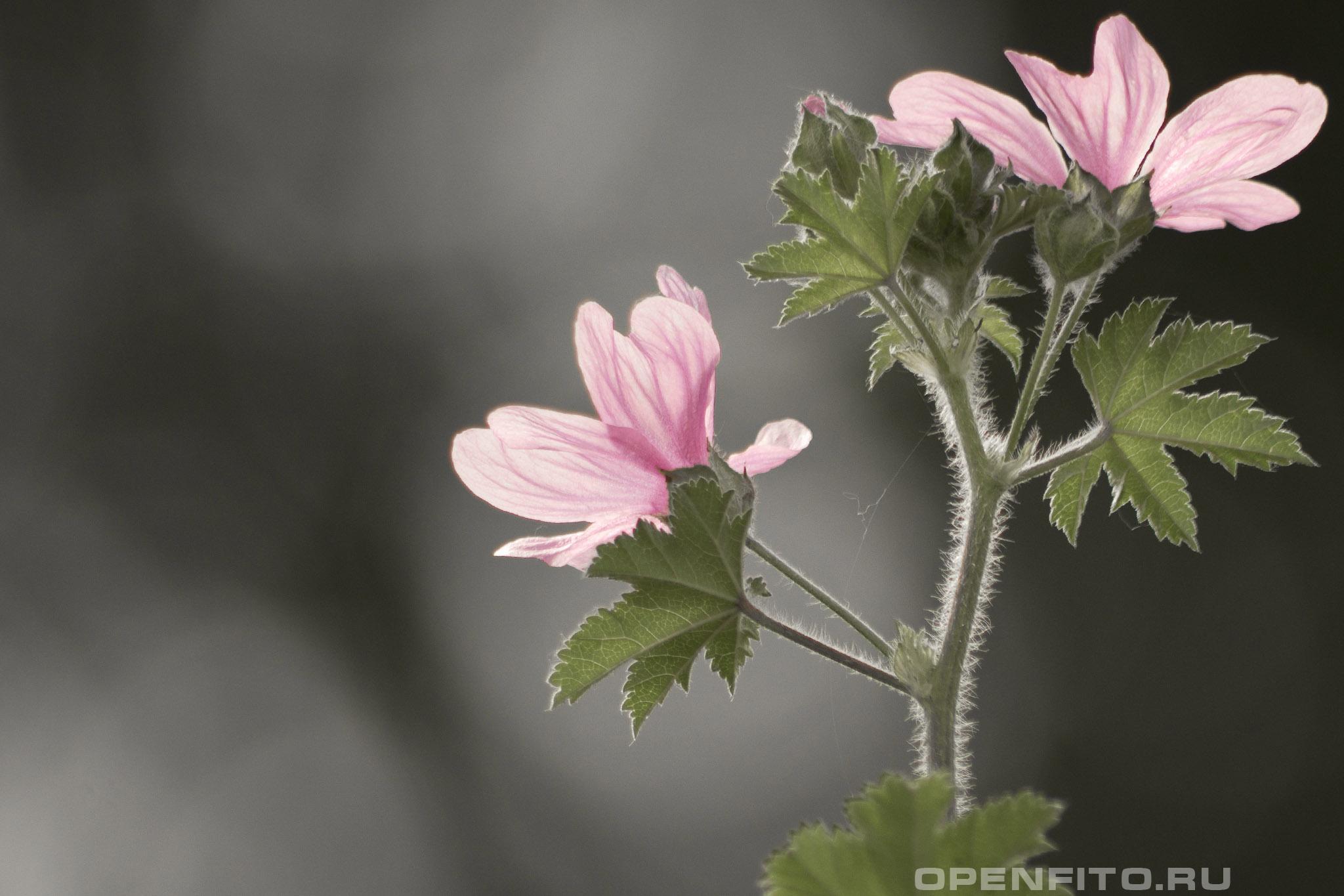 Хатьма древовидная околоцветник и листья