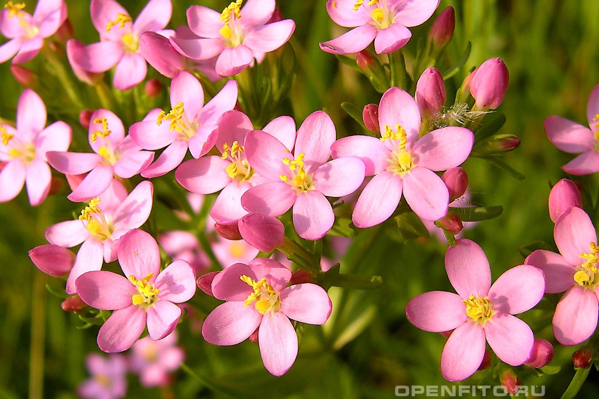 Золототысячник обыкновенный <p>Лекарственное растение Тирлич-трава</p>