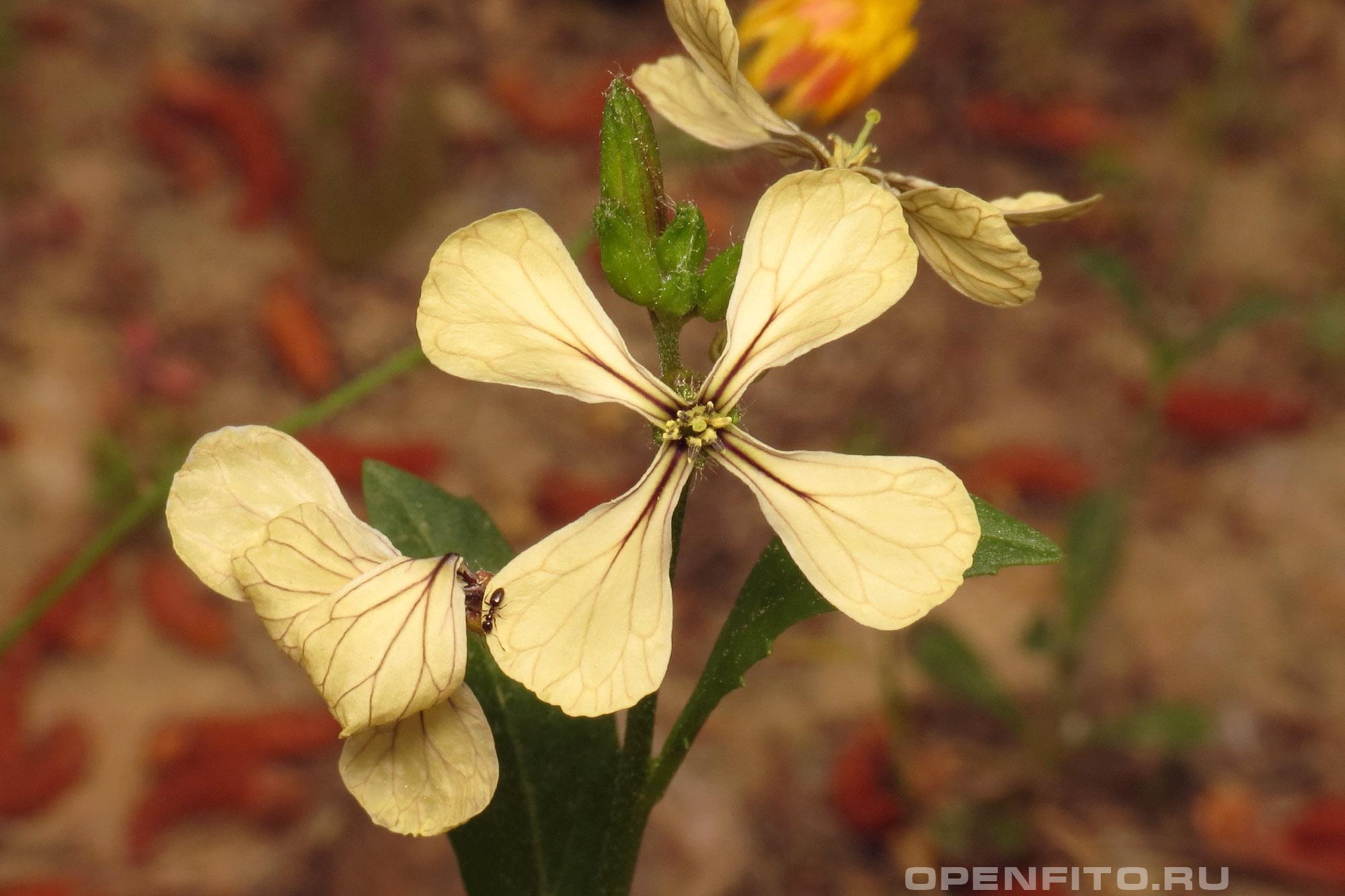 Эрука посевная желтый цветок