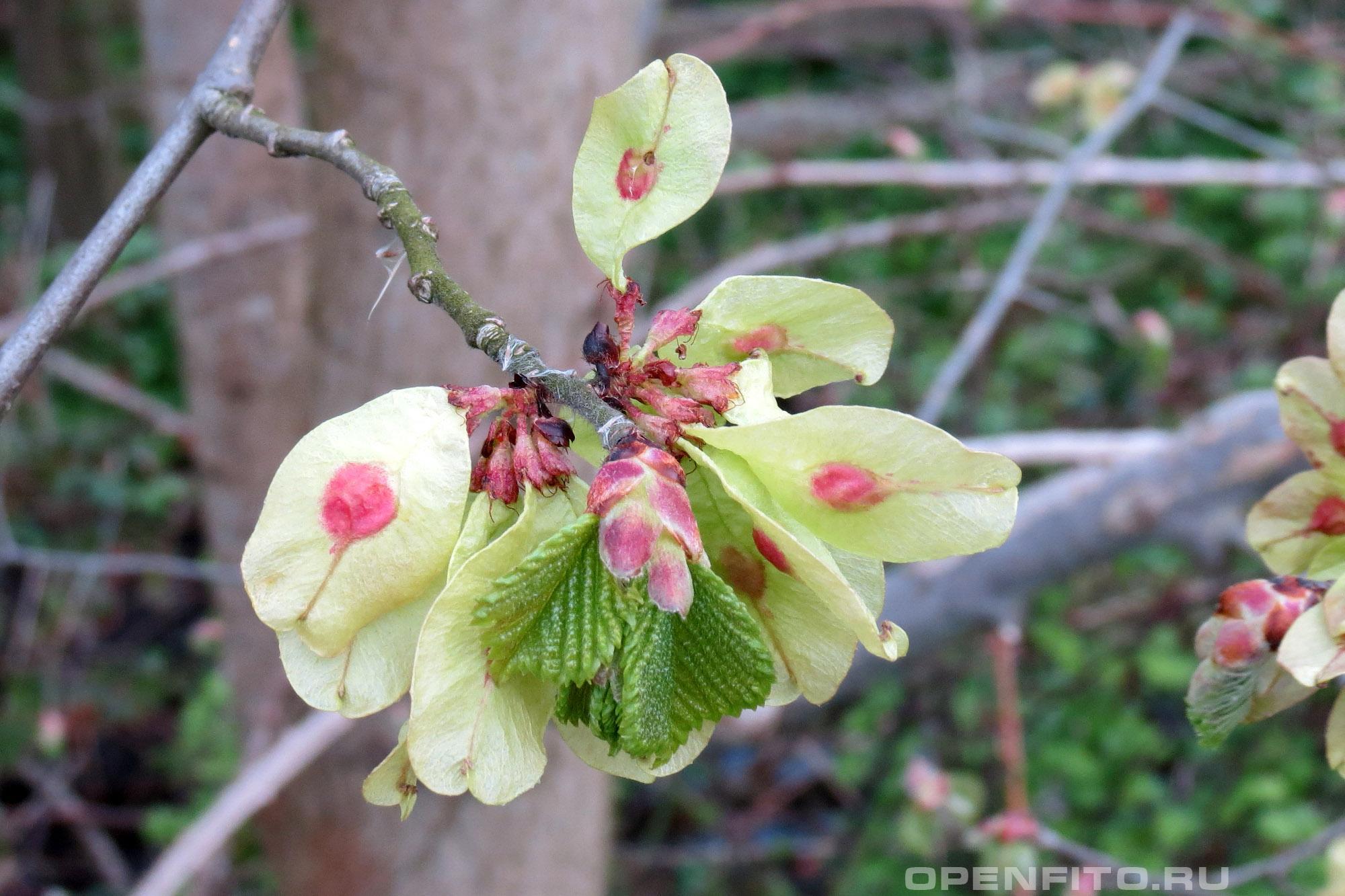 Вяз голый верхушка побега с плодами