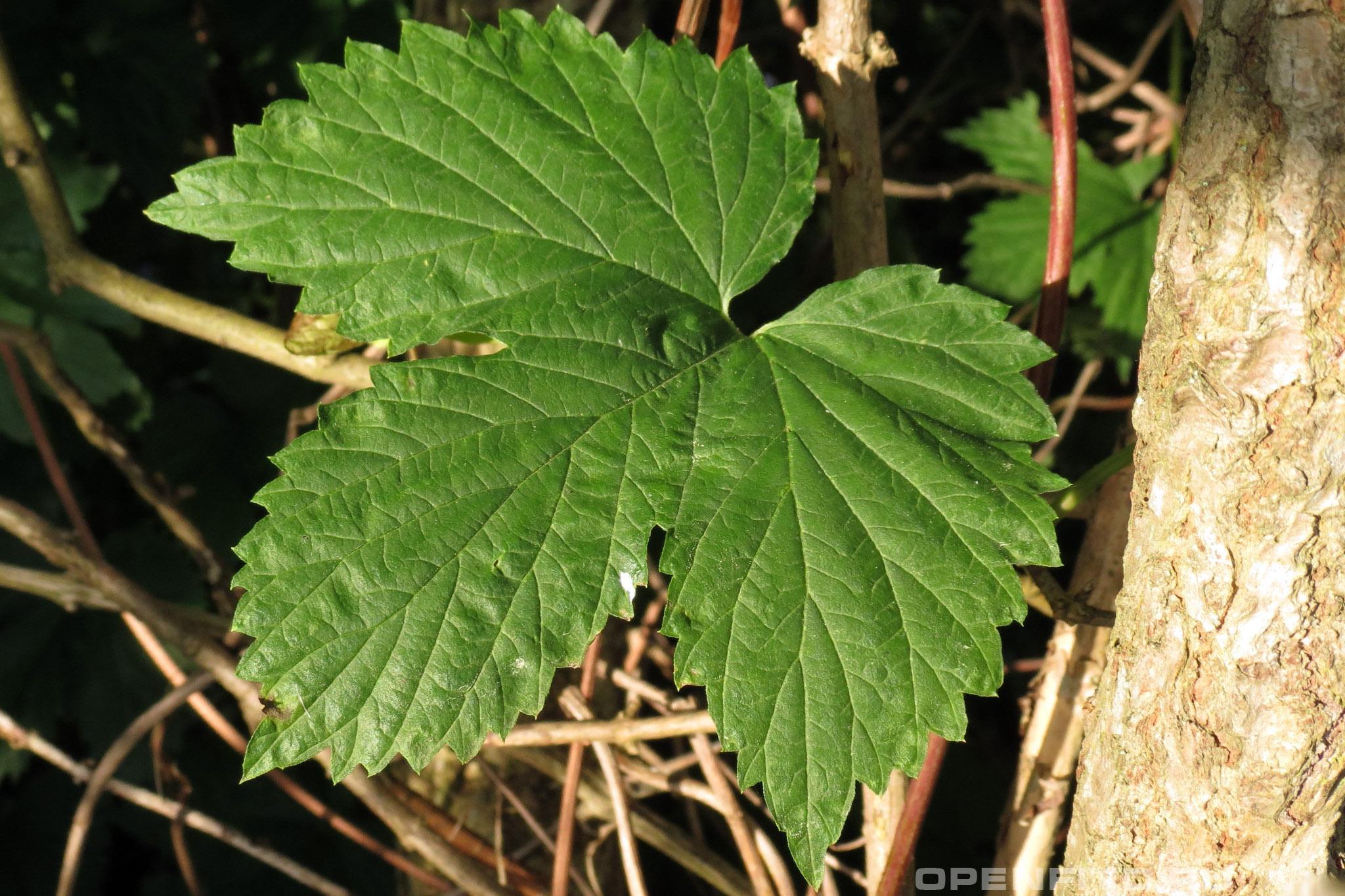 Хмель сердцелистный лист