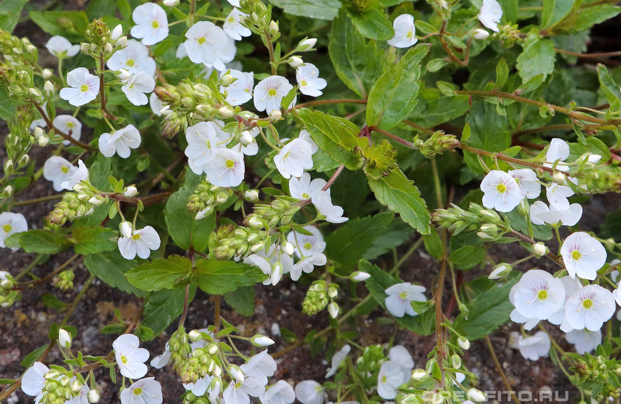 Вероника чернеющая цветки и листья