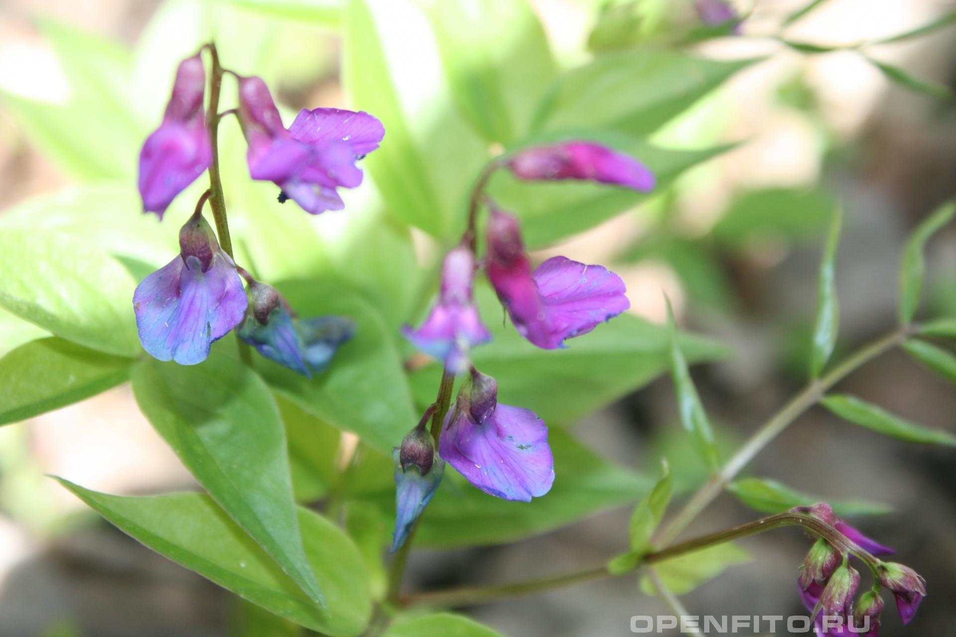 Сочевичник весенний Растёт в хвойных и смешанных лесах, лекарственное