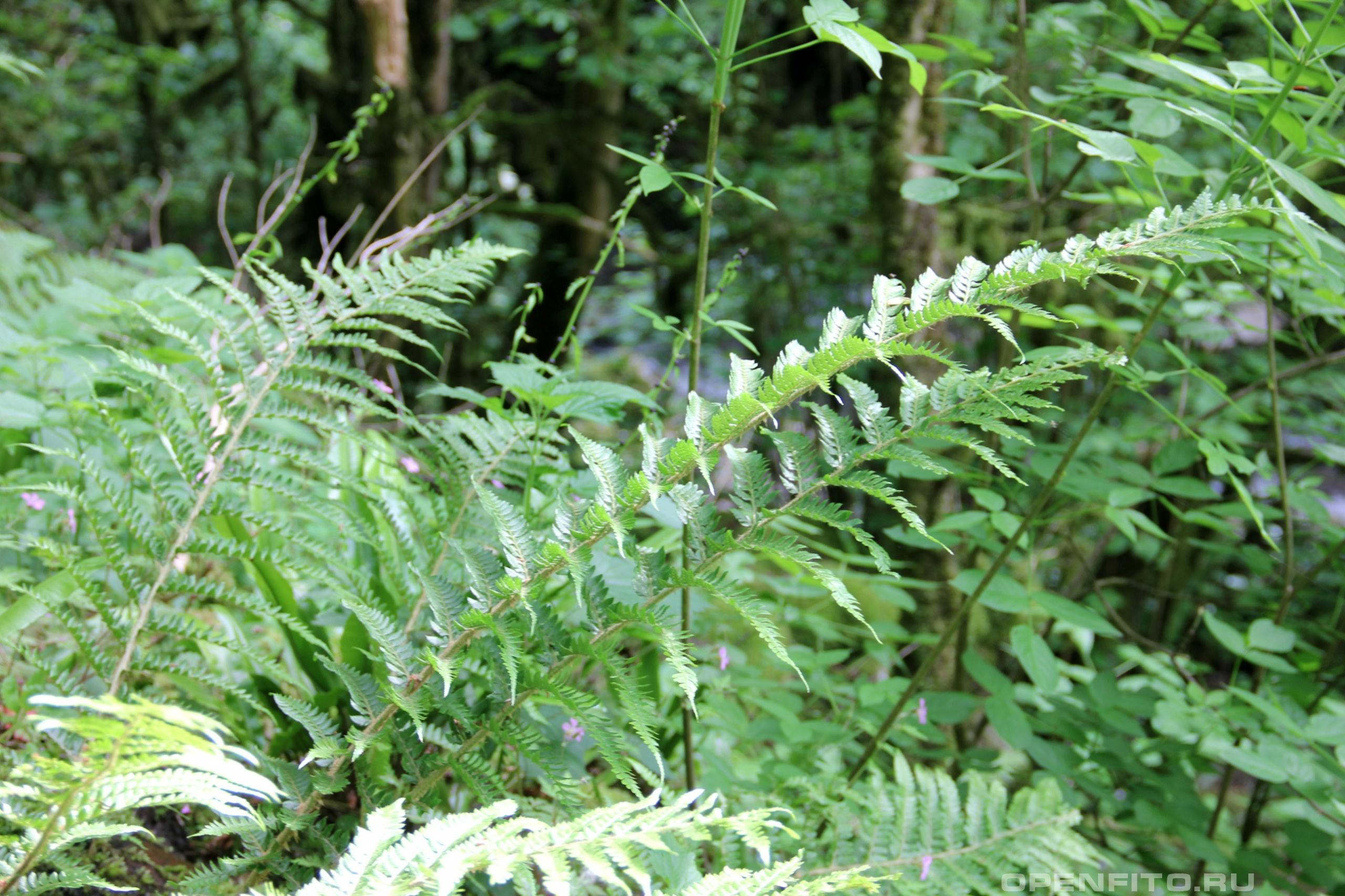 Щитовник высокогорный листья