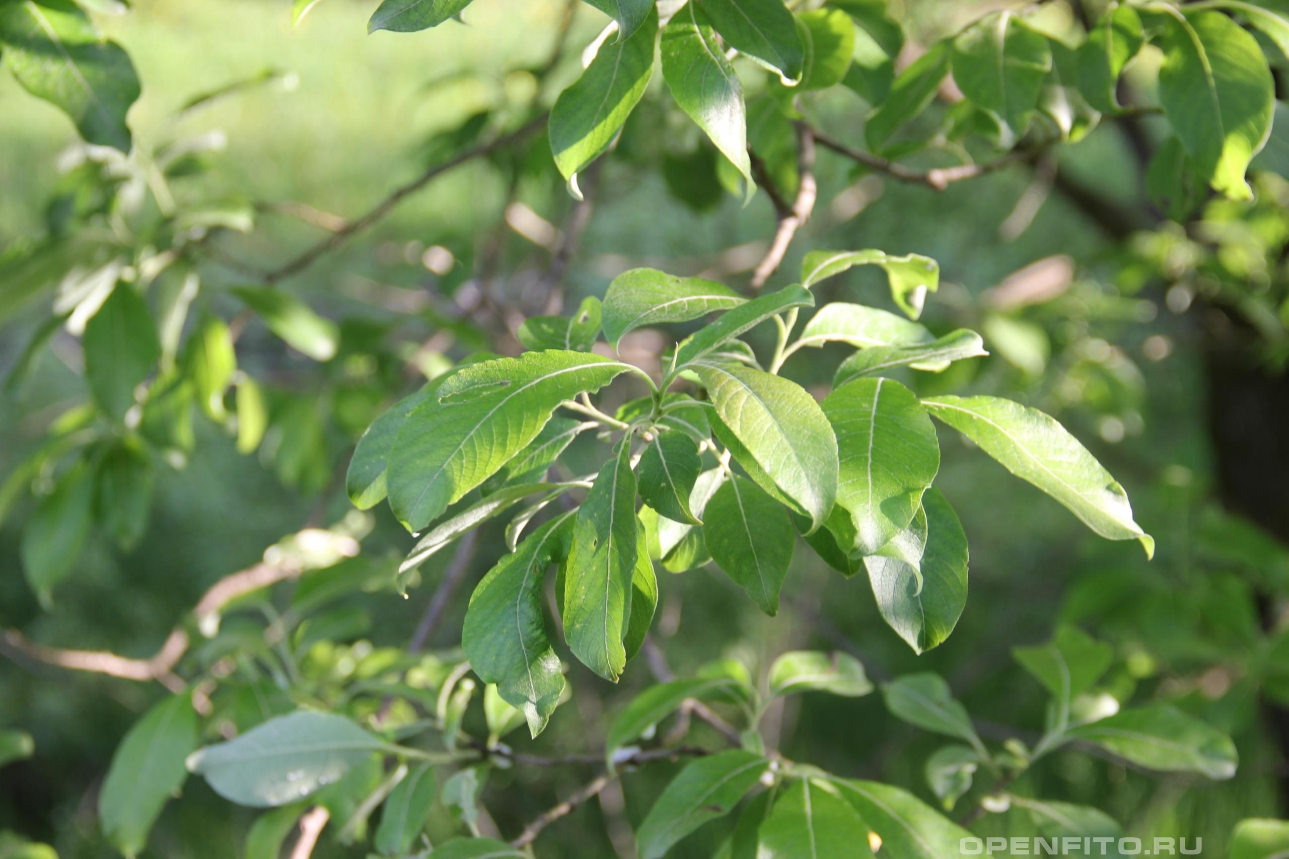 Ива козья листья, другое название Ива одновременная