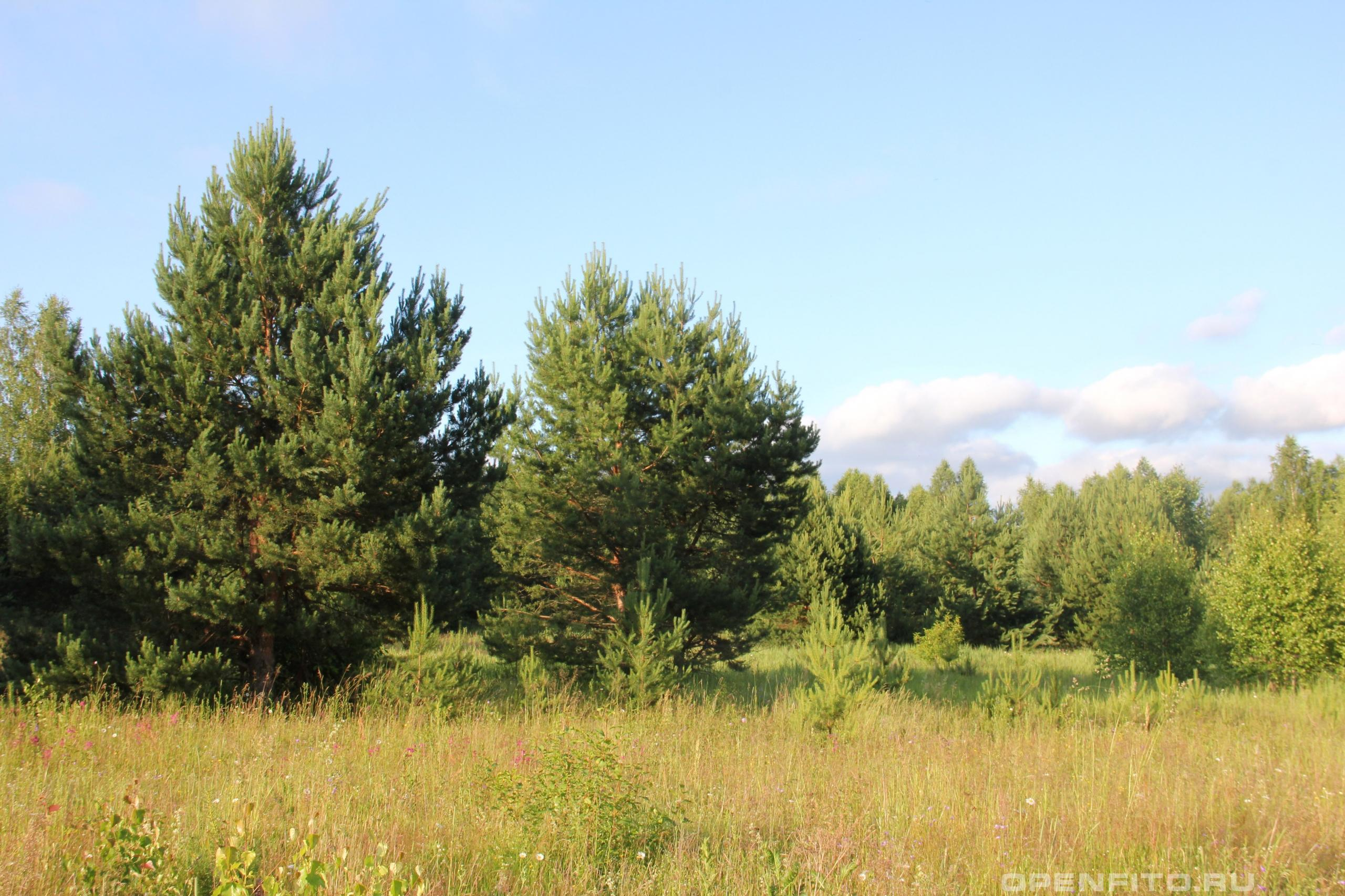 Сосна обыкновенная молодые деревья