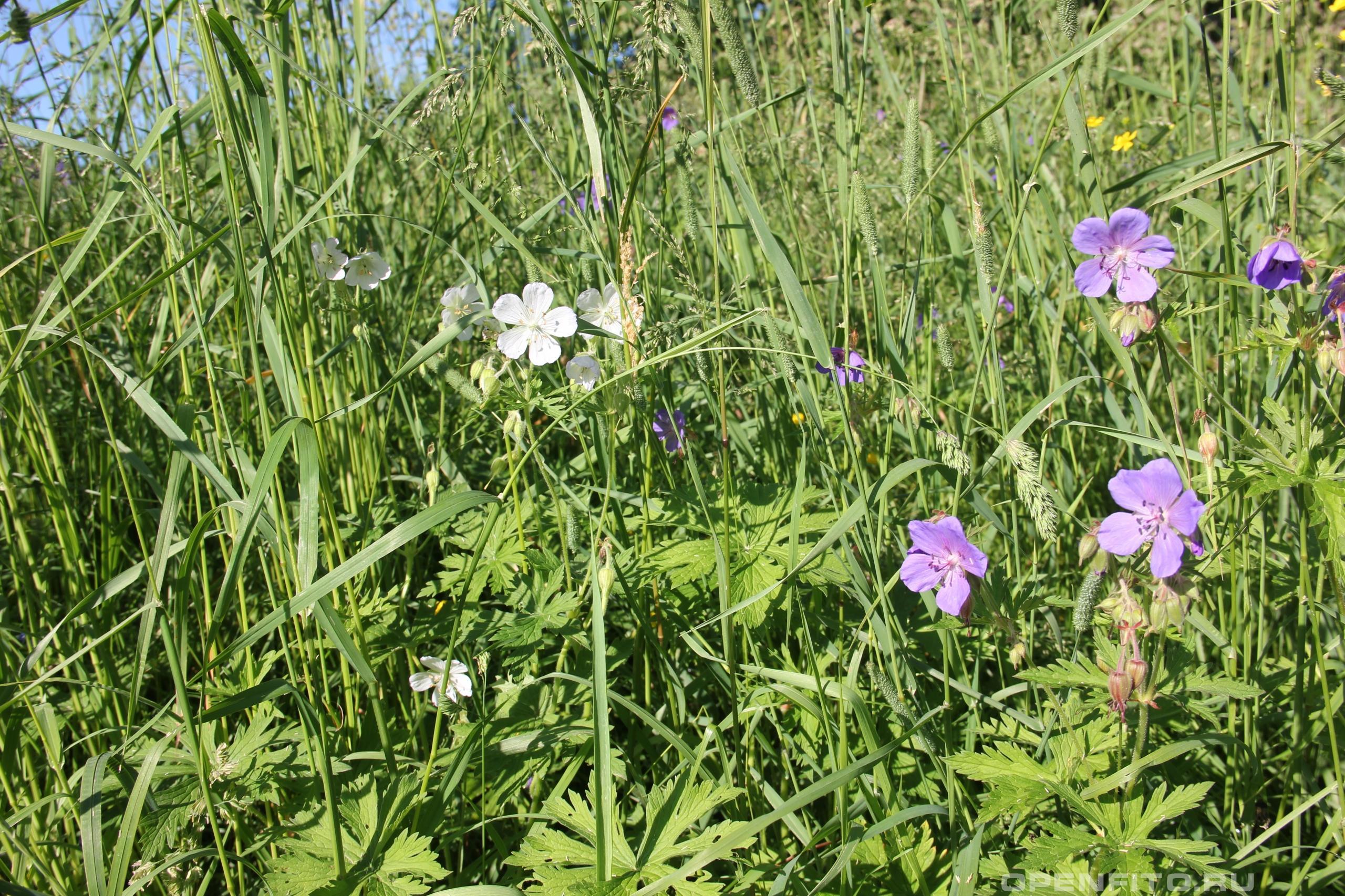 Герань луговая белые и синие цветки герани