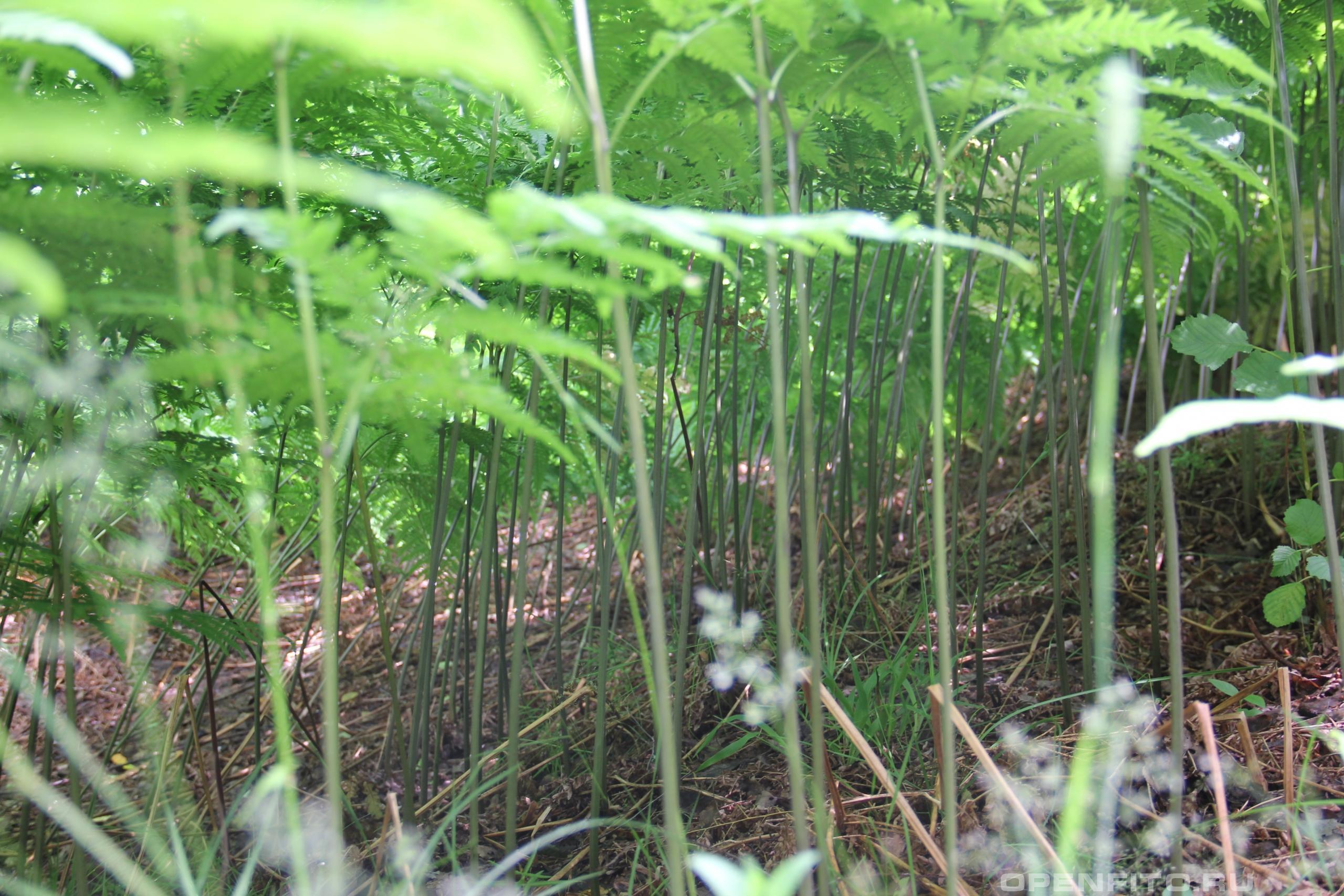Орляк сосняковый стебли