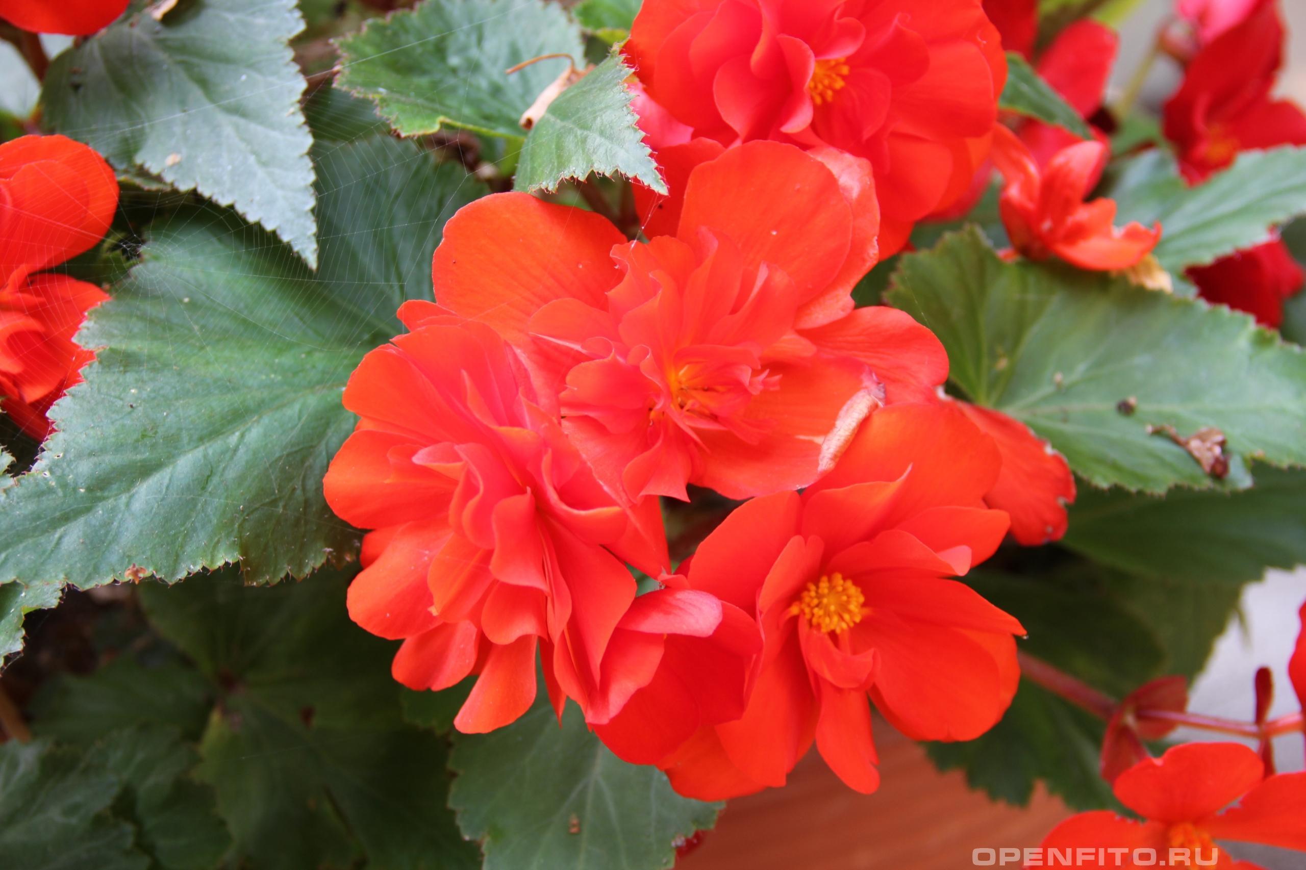 Бегония вечноцветущая или садовая