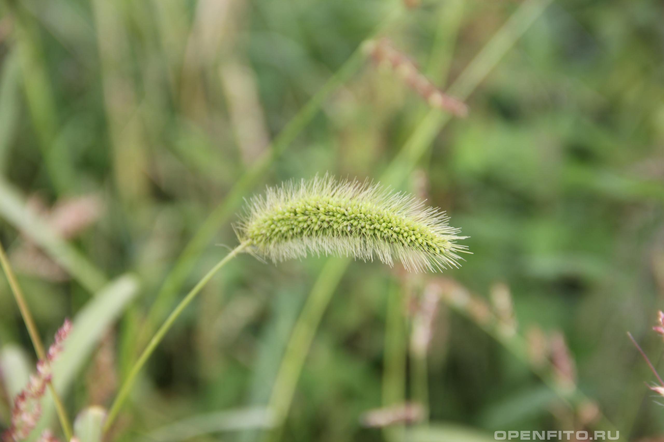 Щетинник зелёный