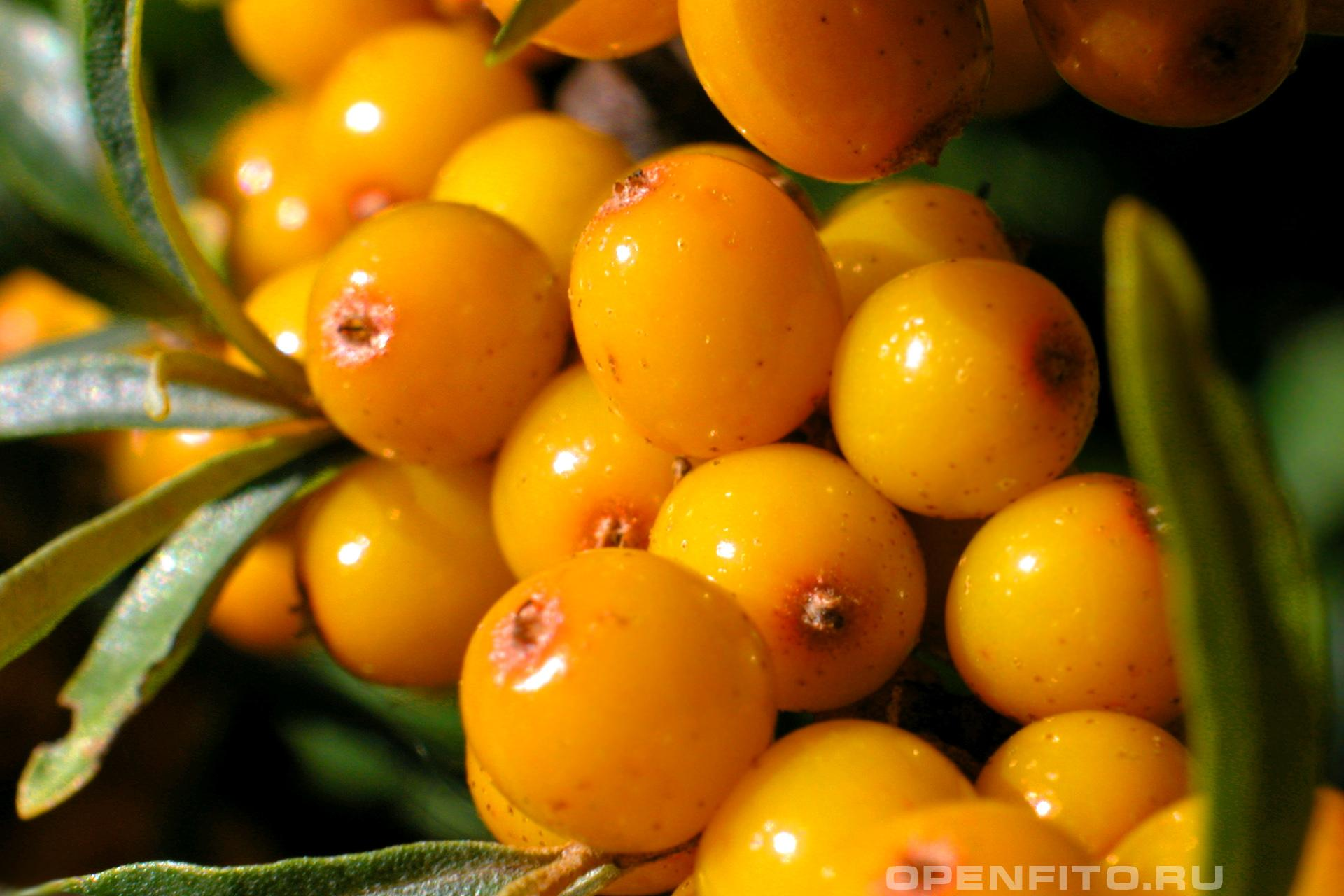 Облепиха спелые ягоды облепихи