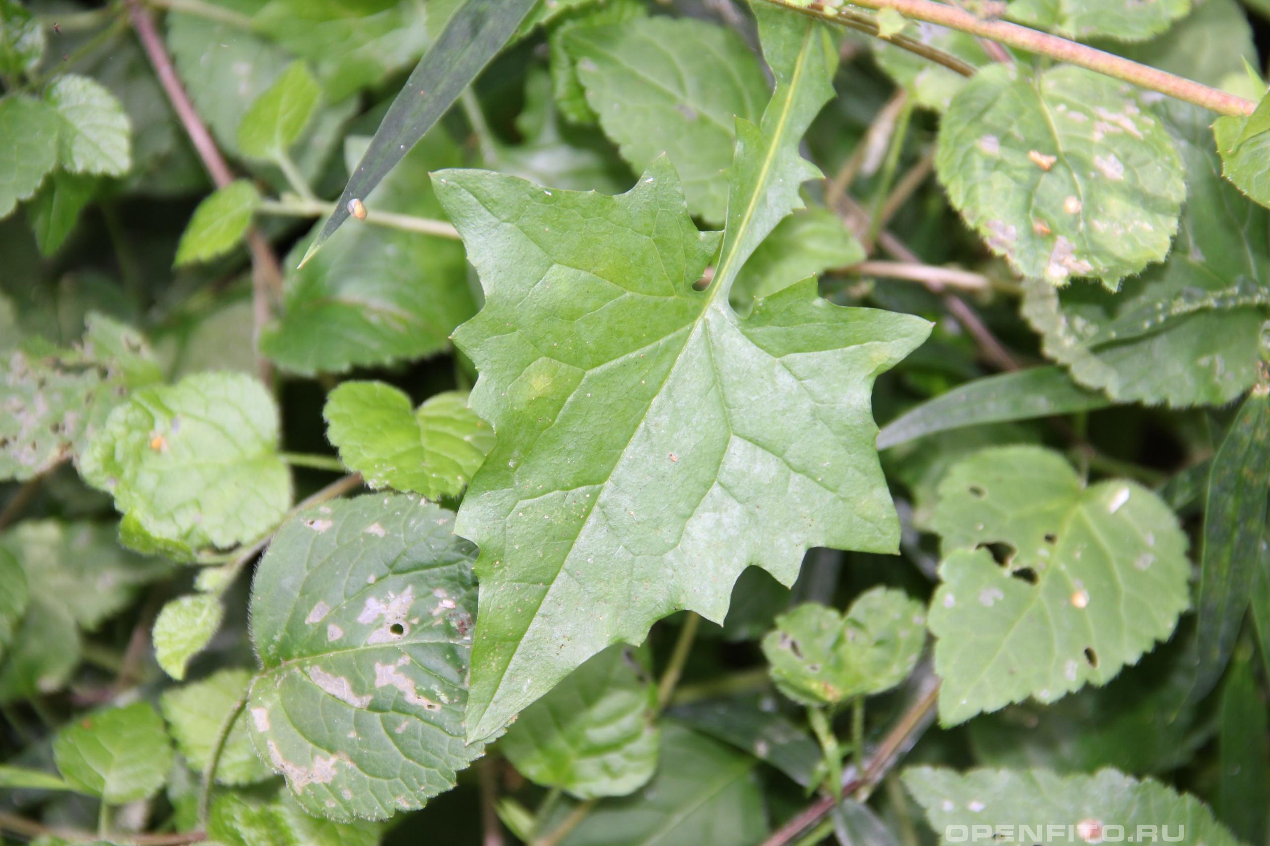 Мицелис стенной нижний лист