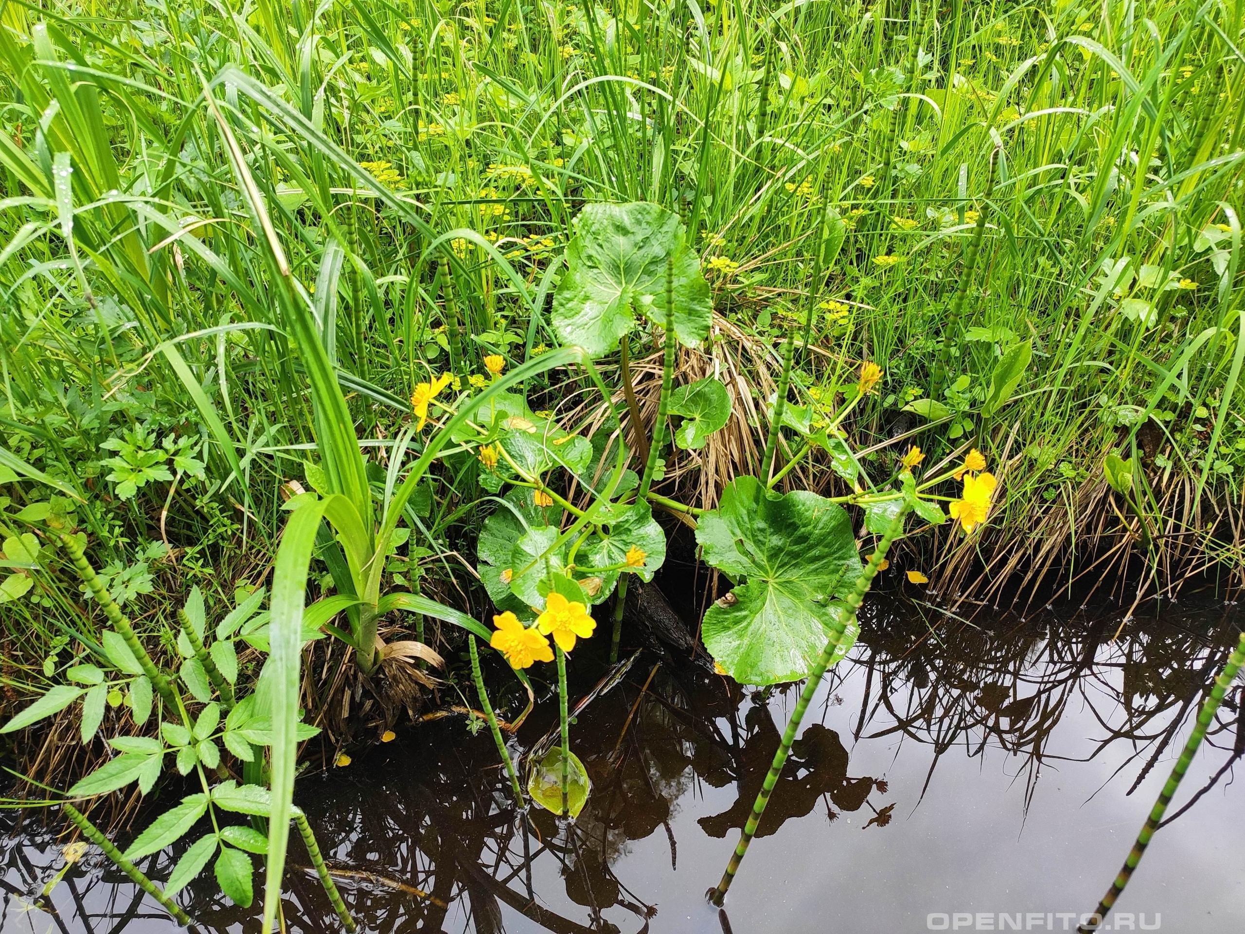 Калужница болотная растение во время цветения