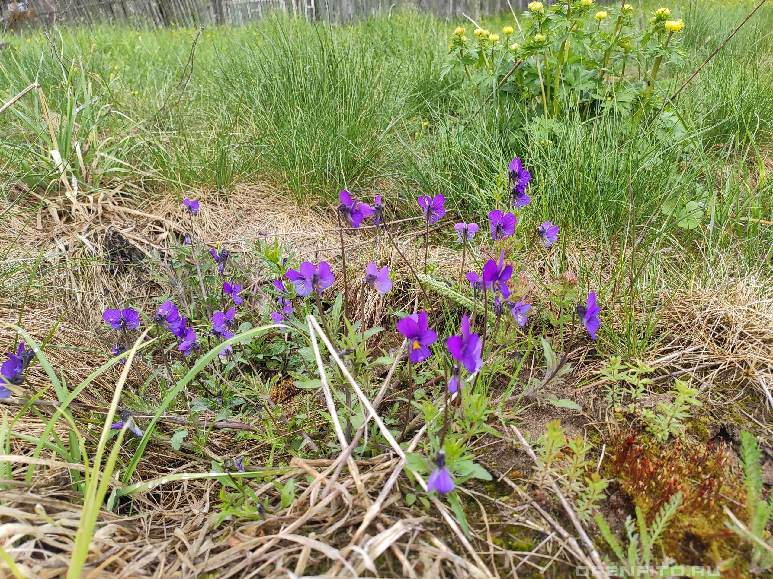 Фиалка трехцветная весенние цветы