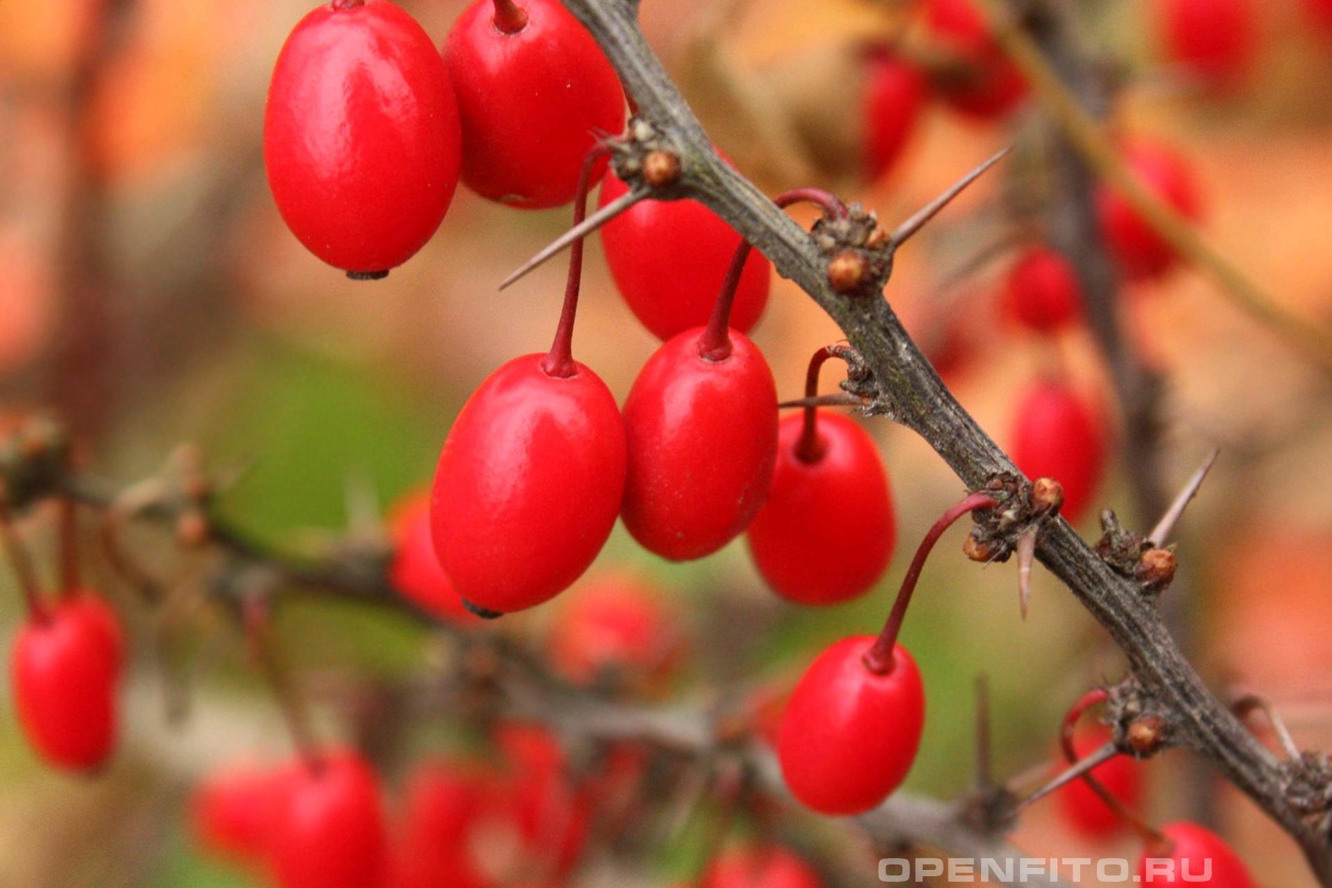Барбарис Спелые ягоды