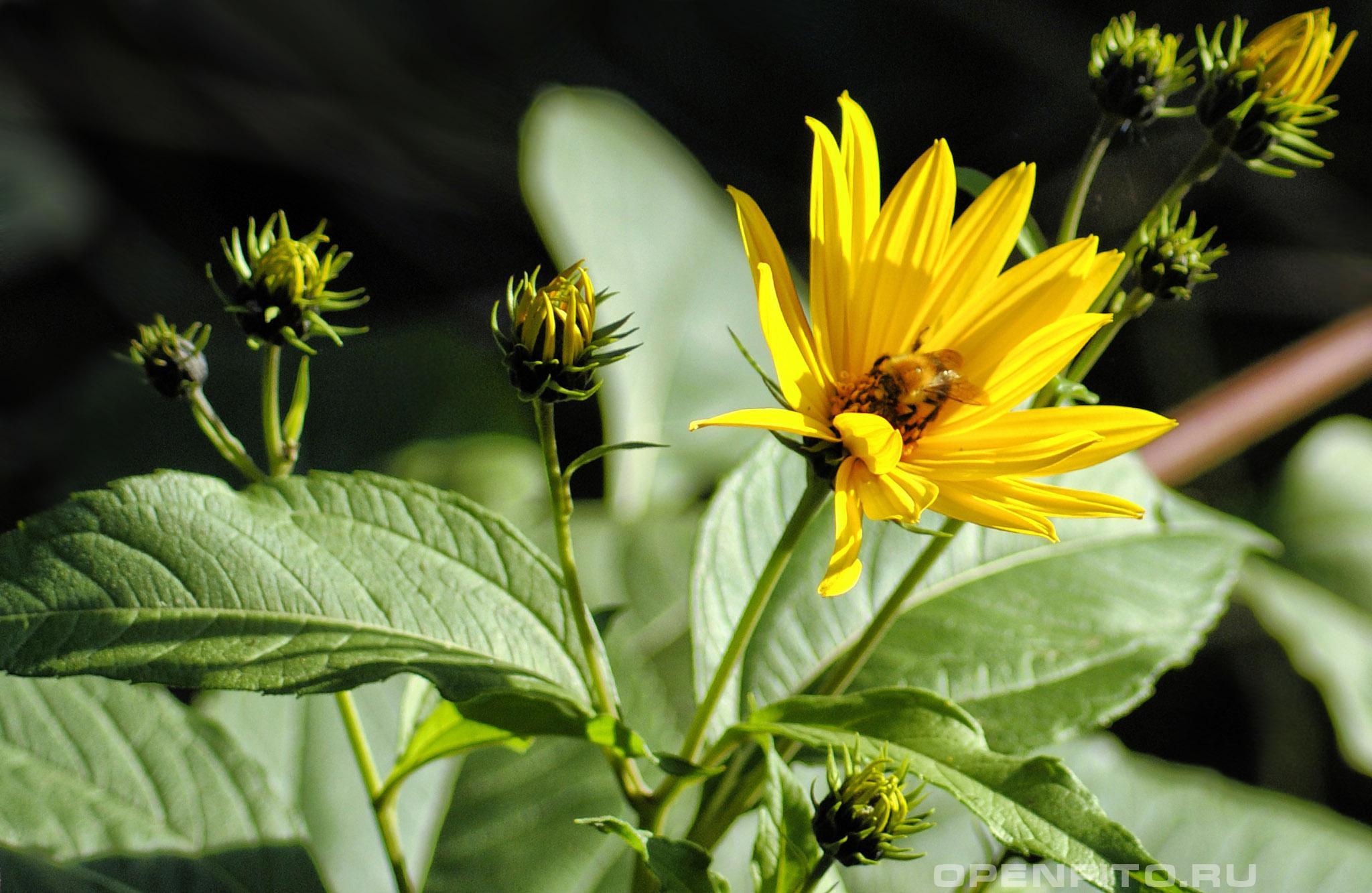 Подсолнечник клубненосный соцветие топинамбура