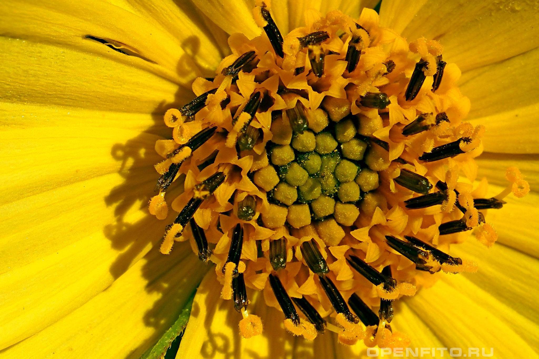 Подсолнечник клубненосный соцветие крупным планом