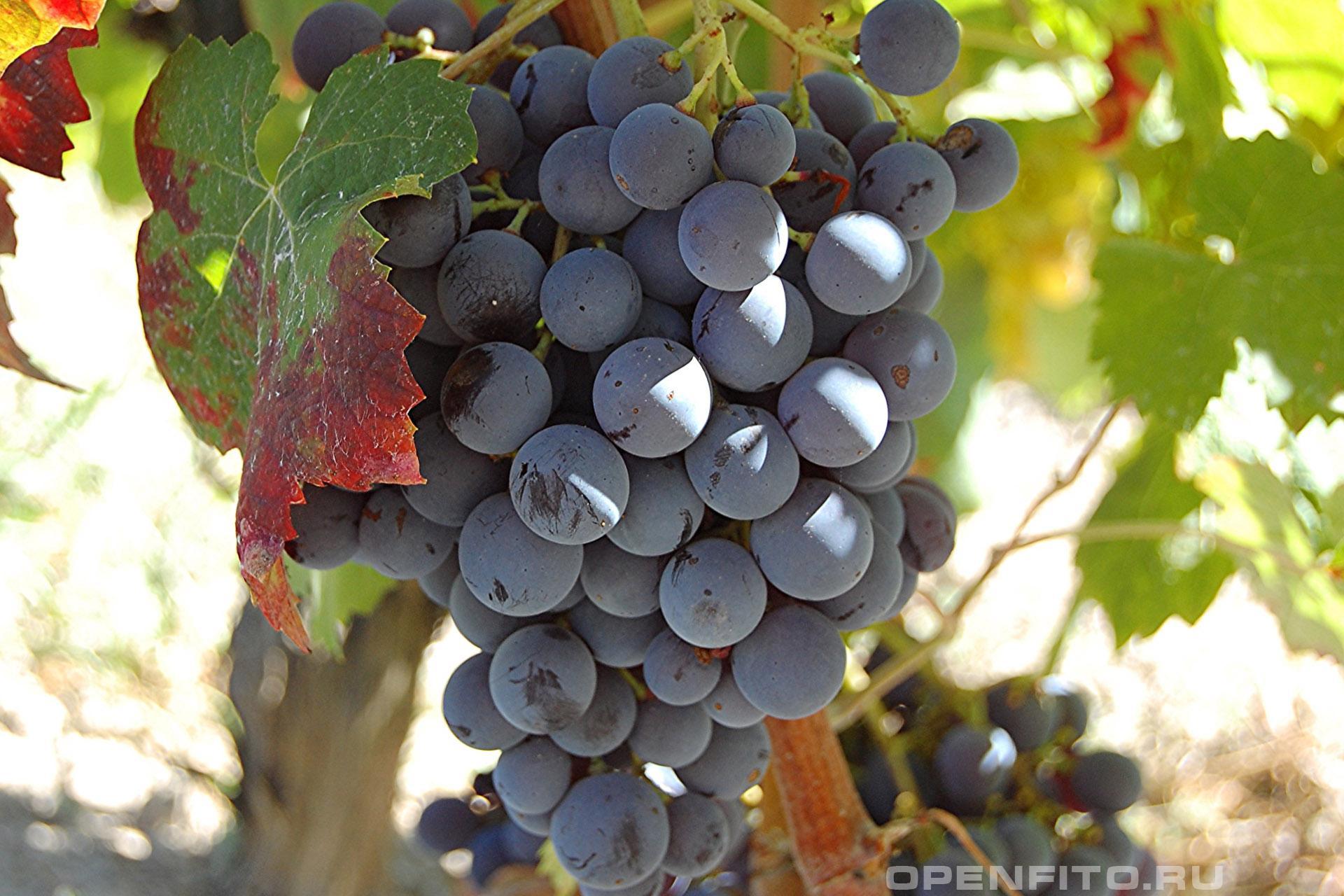Виноград культурный спелая гроздь винограда