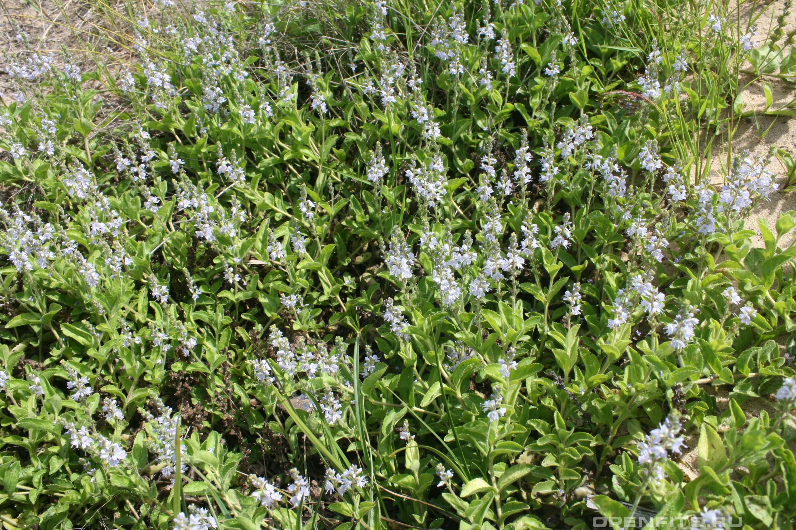 Вероника лекарственная цветущая трава