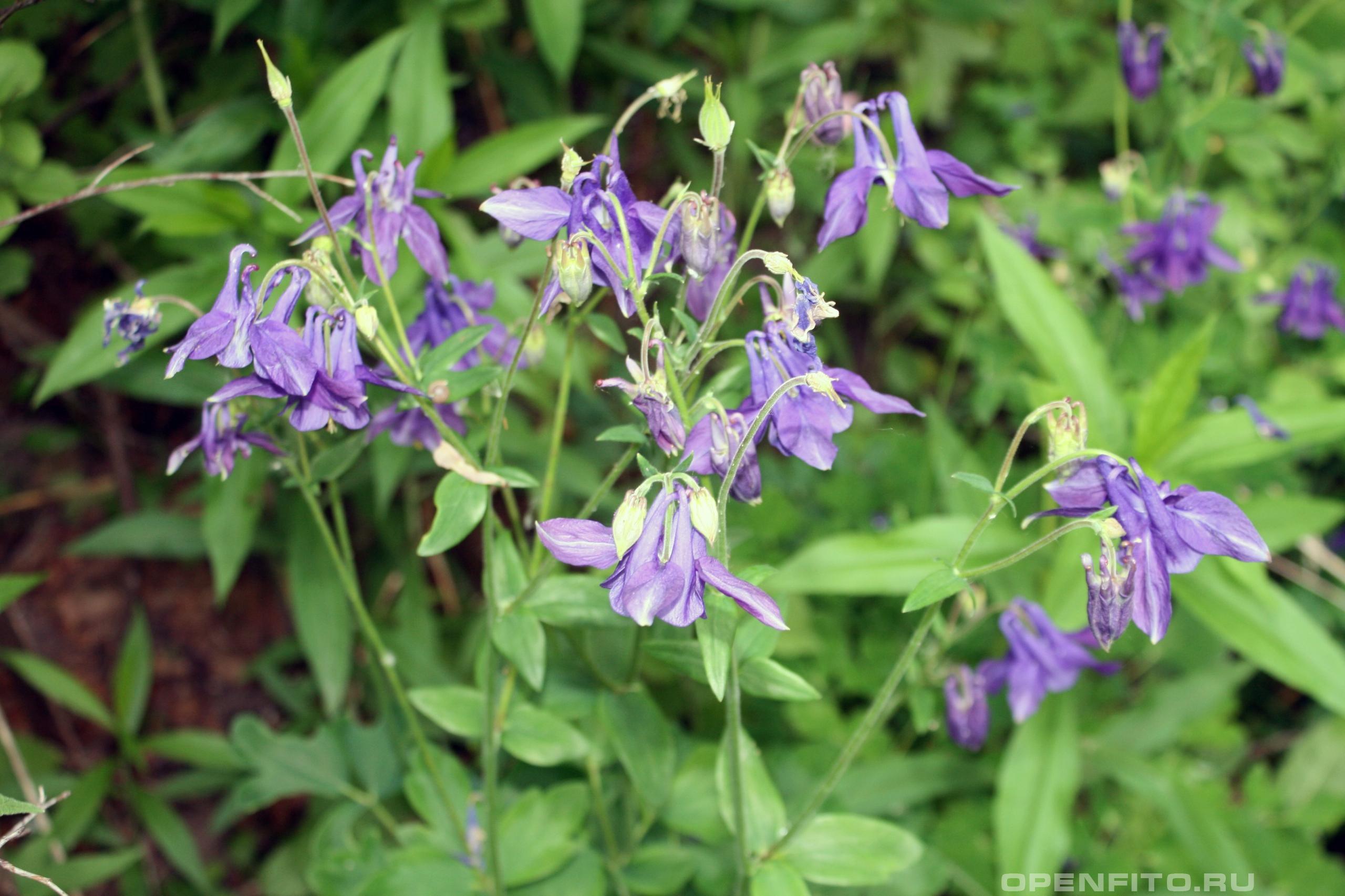 Водосбор обыкновенный цветущее садовое растение
