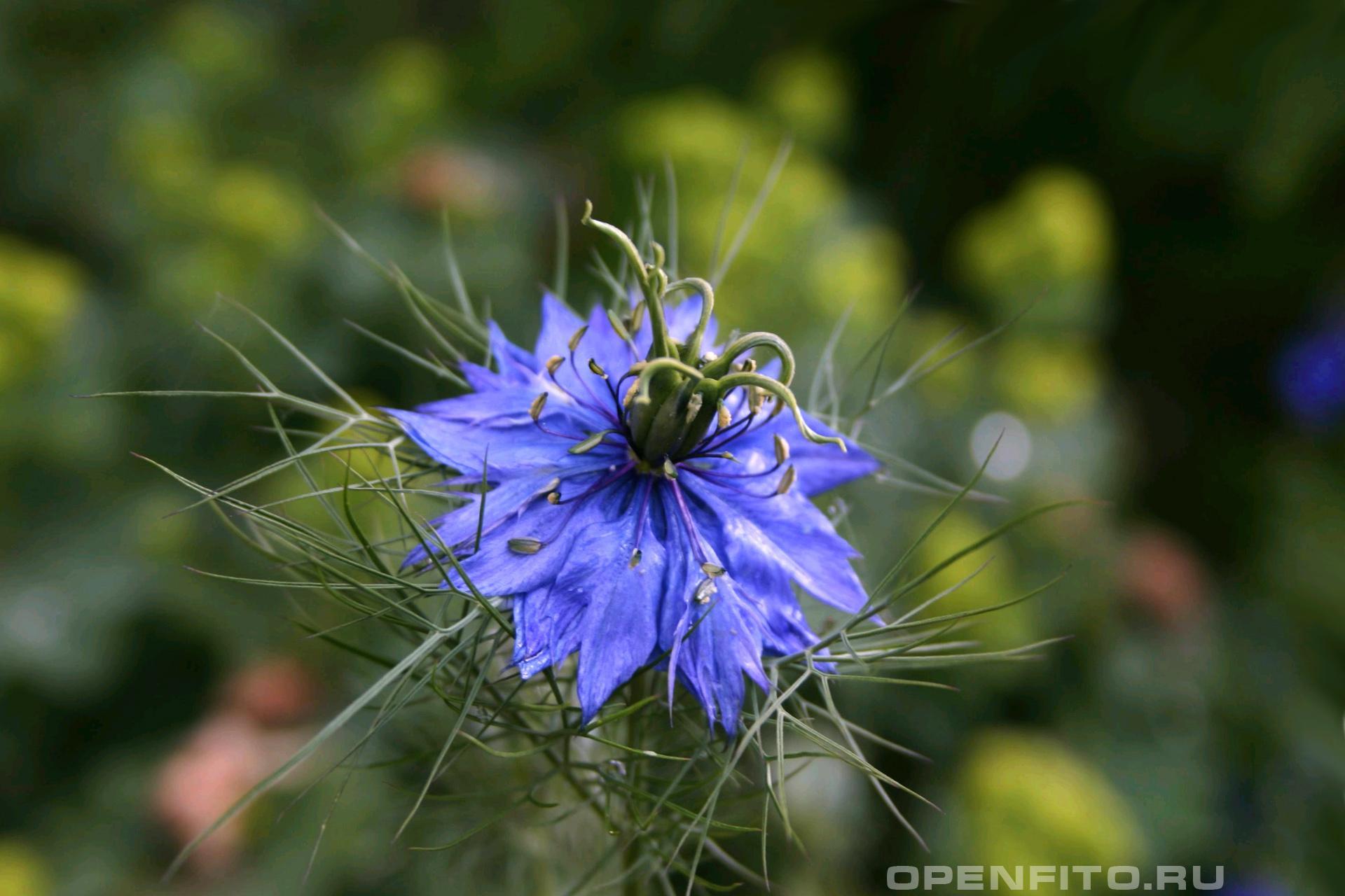 Чернушка дамасская <p>Красивое лекарственное растение</p>
