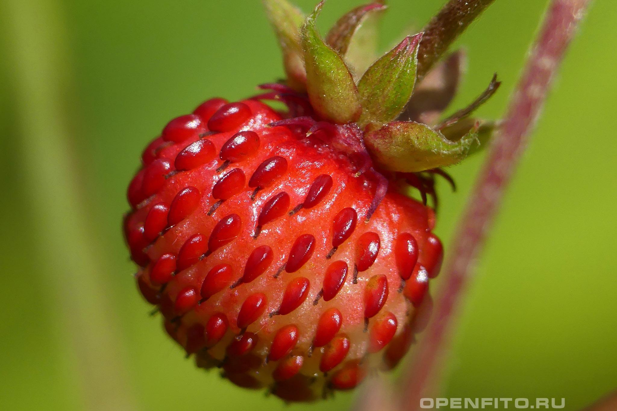Земляника зеленая макросъемка ягоды
