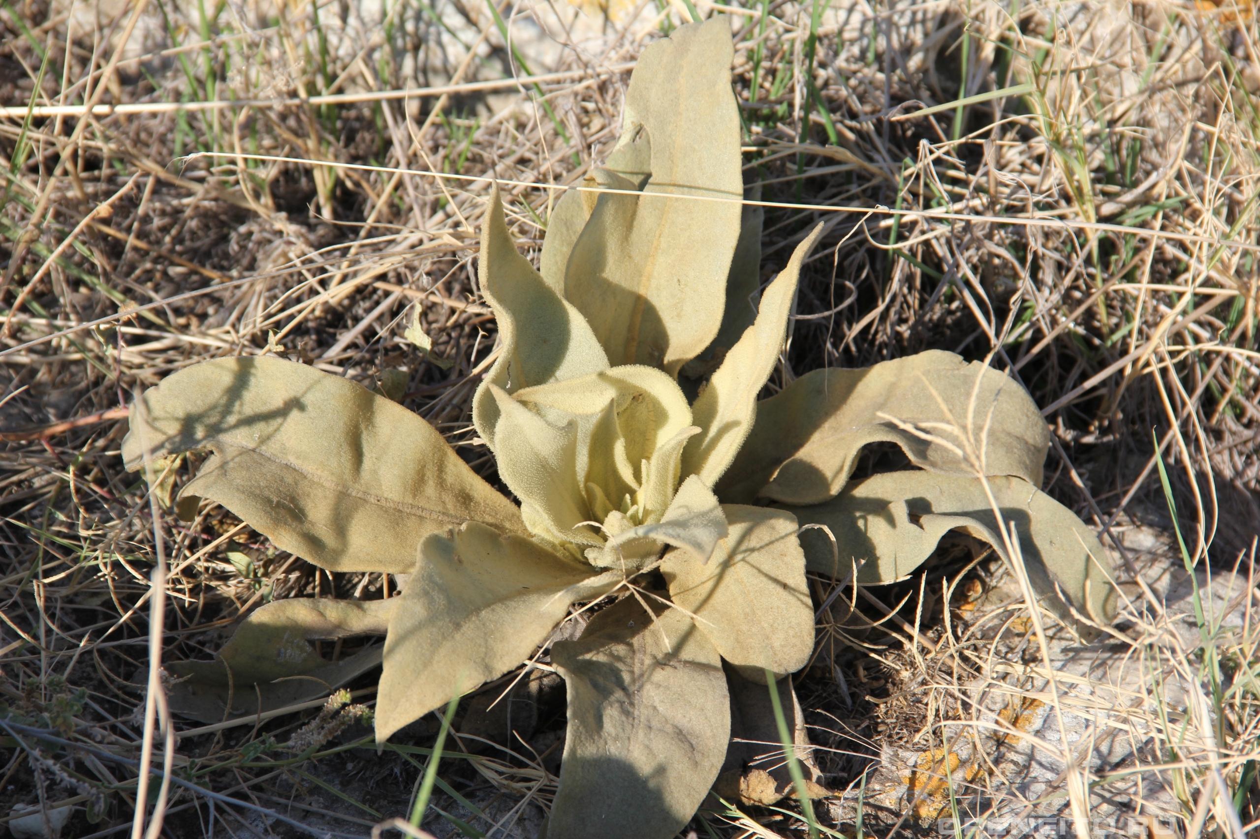 Коровяк обыкновенный молодое растение осенью