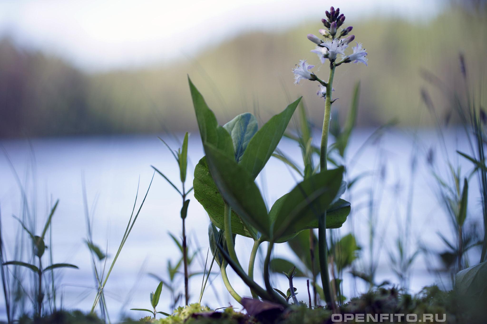 Трифоль вахта трехлистная во время цветения