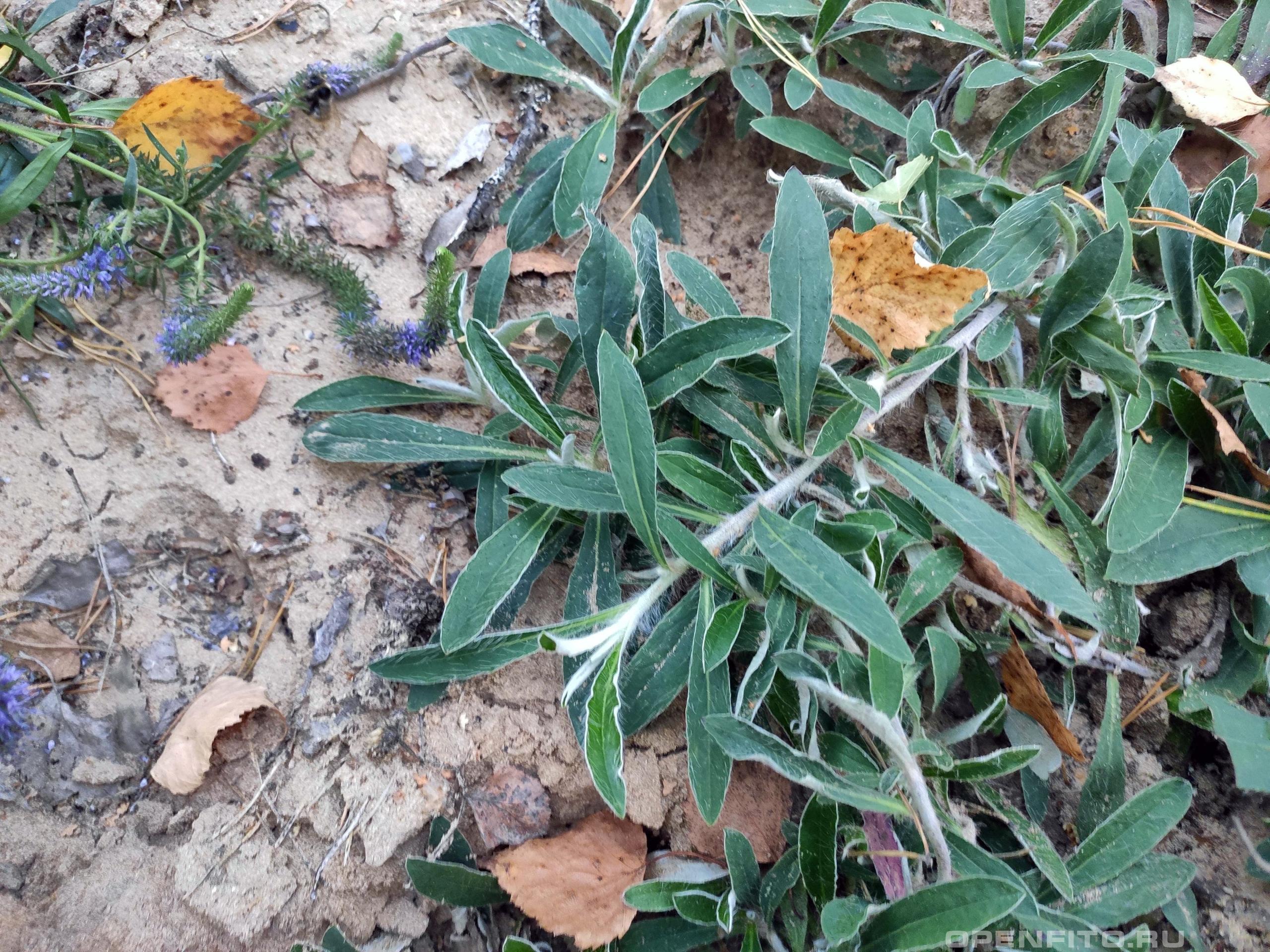 Ястребинка волосистая ползучие побеги растения