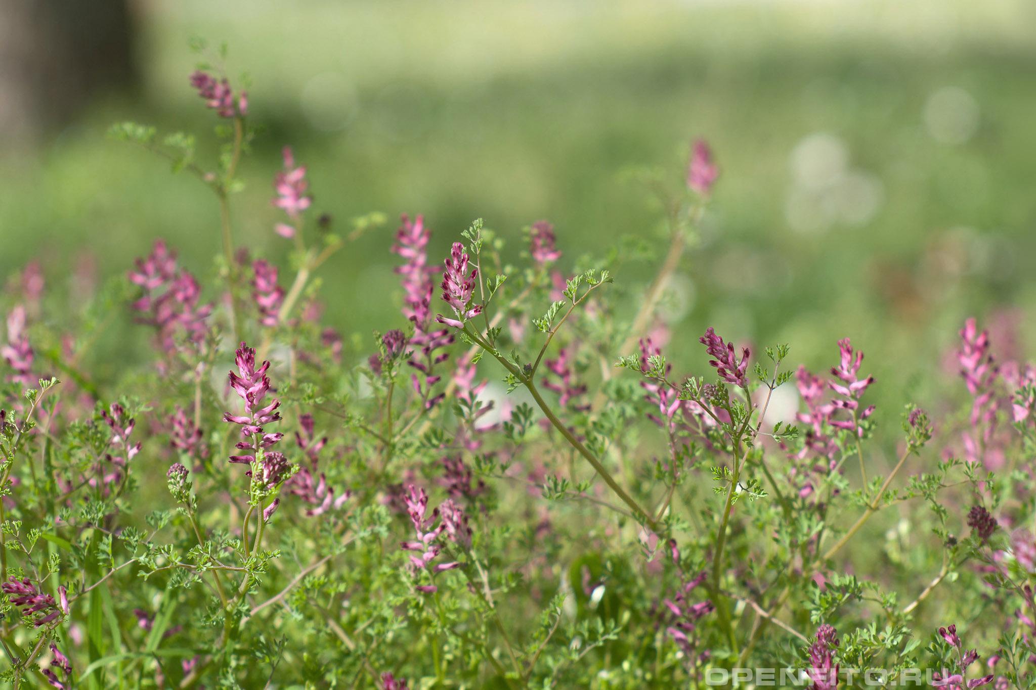 Дымянка лекарственная трава