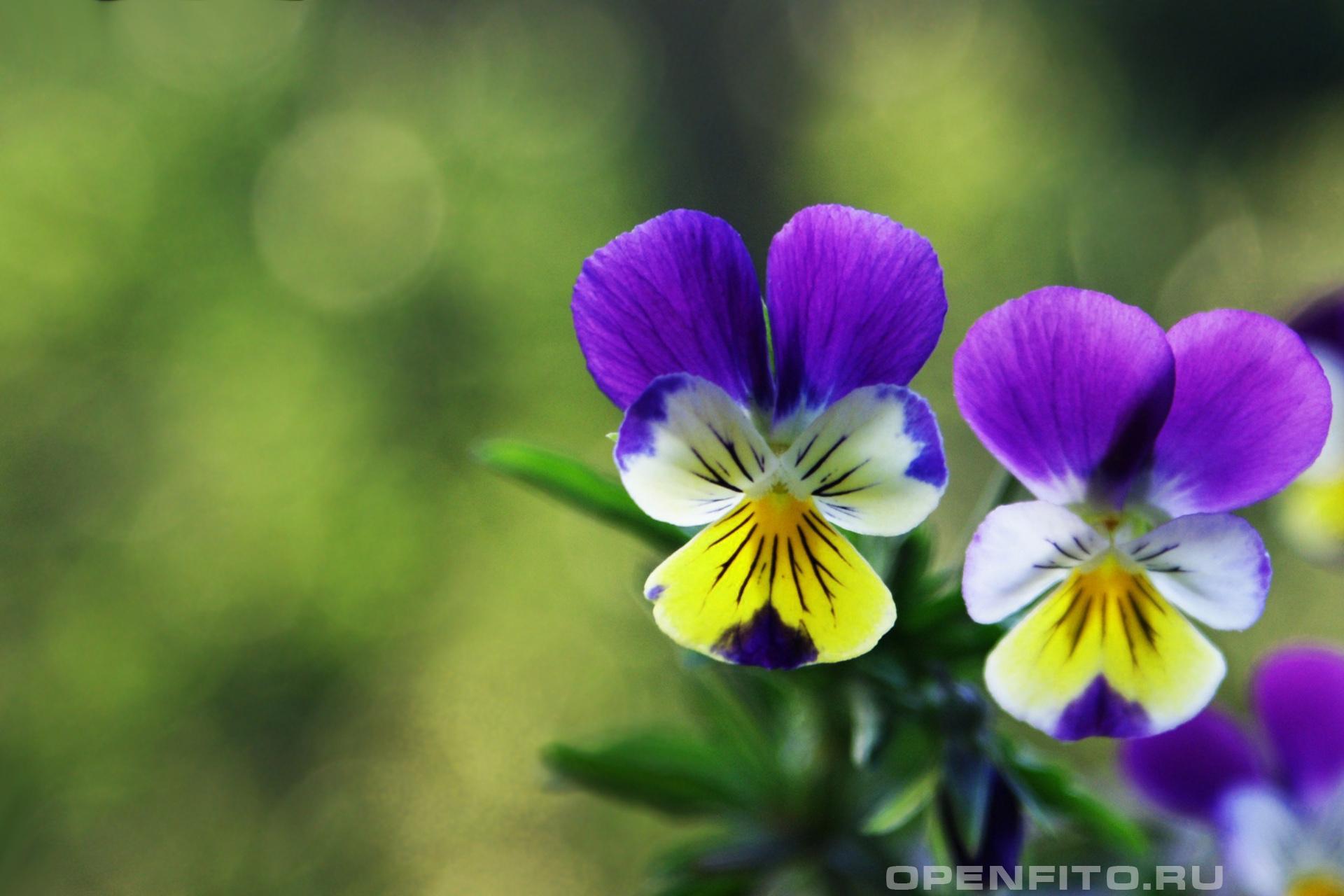 Фиалка трехцветная <p>2 цветка</p>