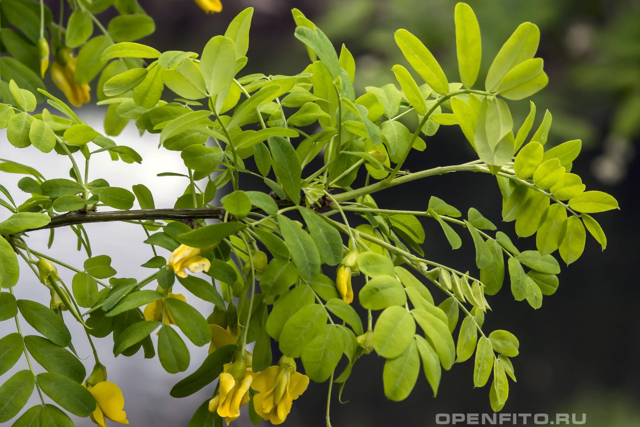 Карагана древовидная листья и цветки