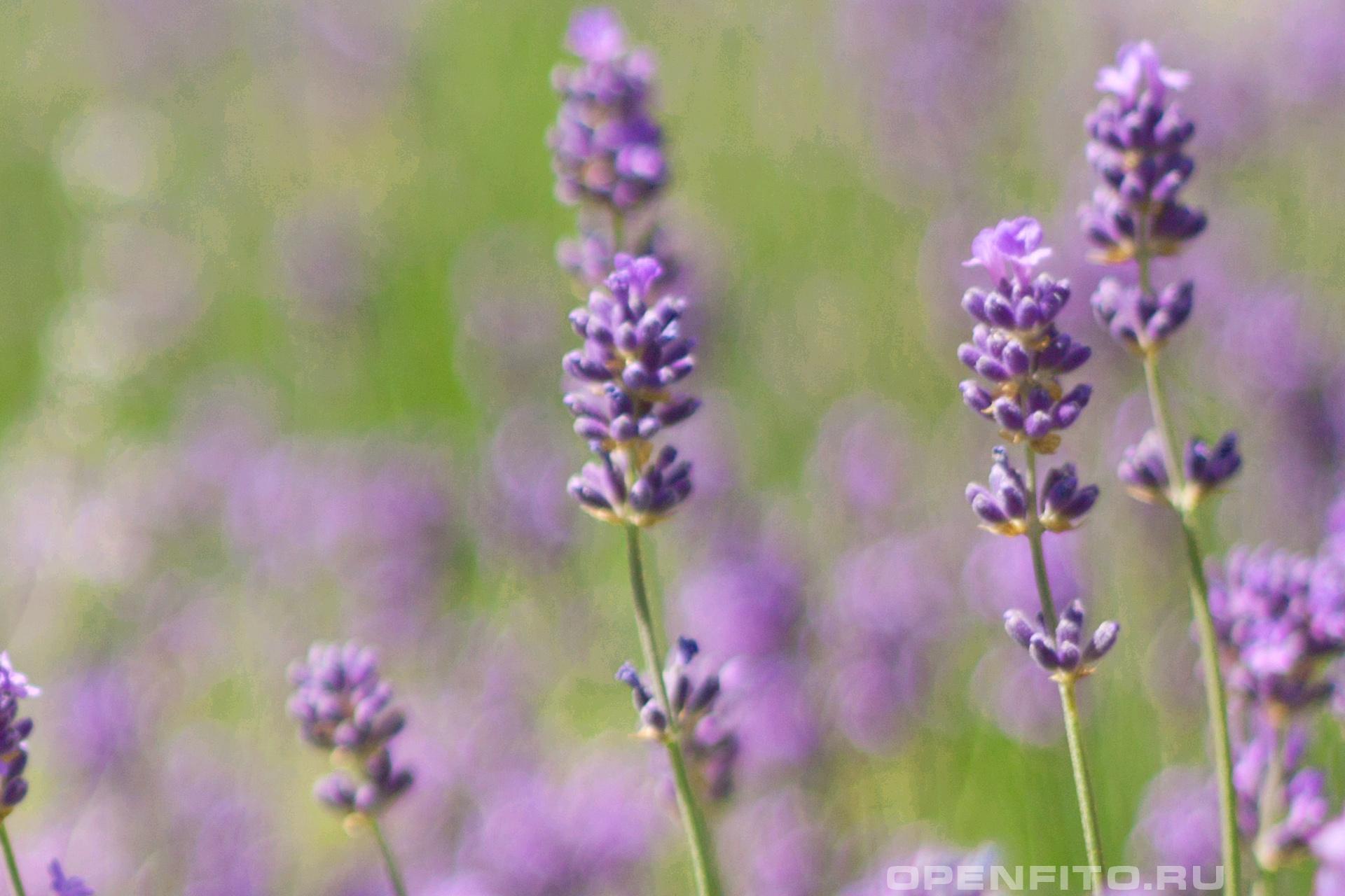 Лаванда Цветки лаванды