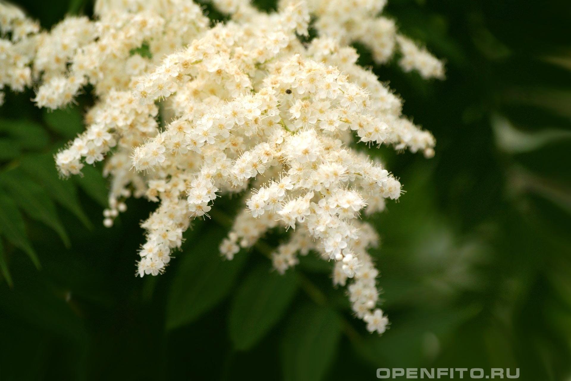 Таволга цветки