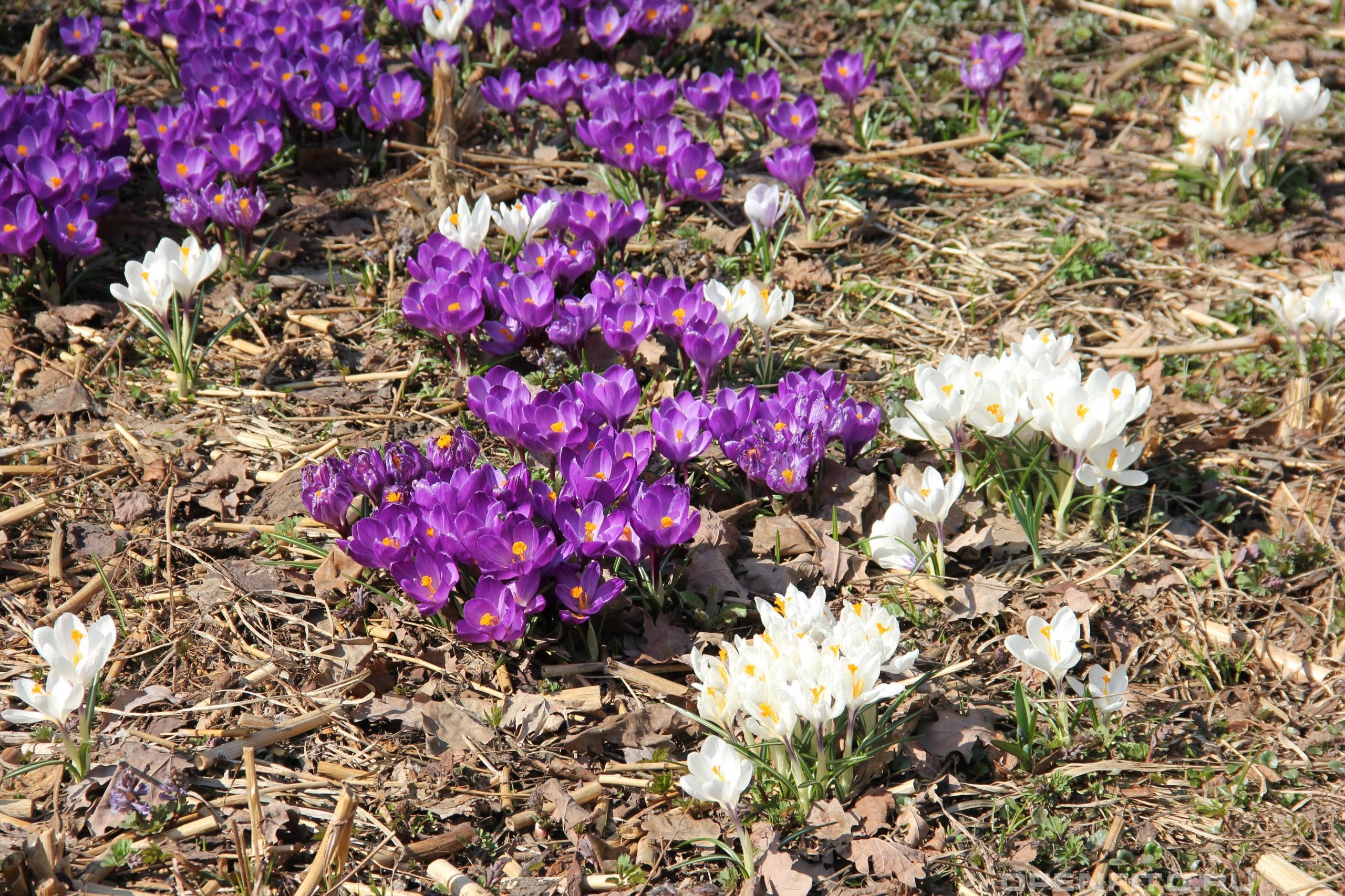 Крокус весенний разнообразие цветов