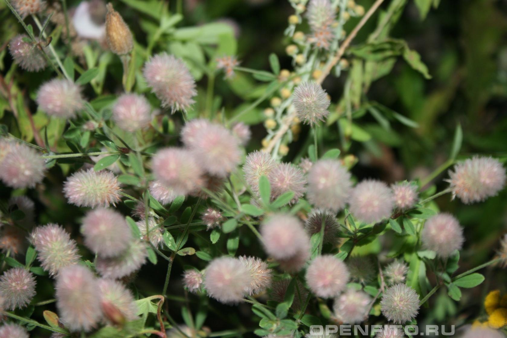 Клевер пашенный Придорожная трава