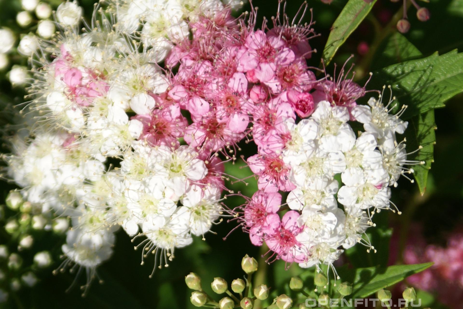 Спирея Садовый куст обладает лекарственными свойствами